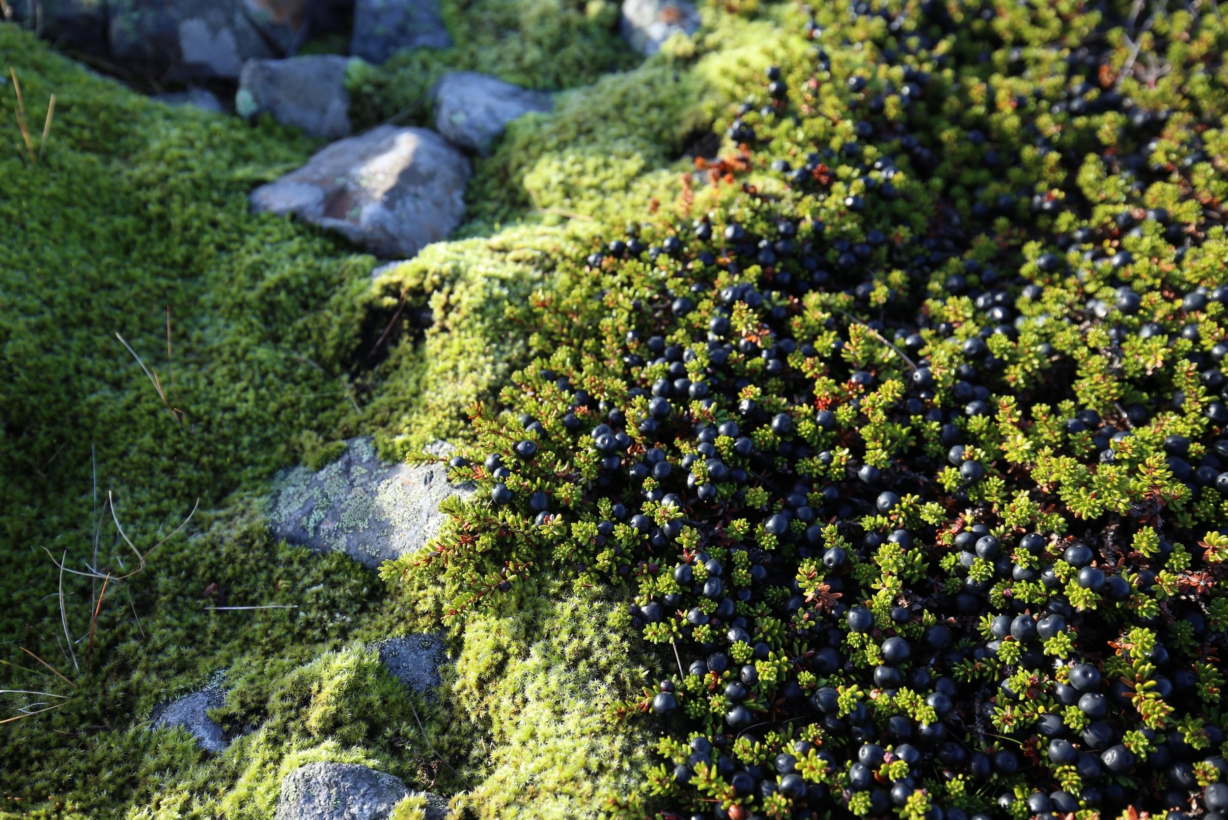 bilberries iceland