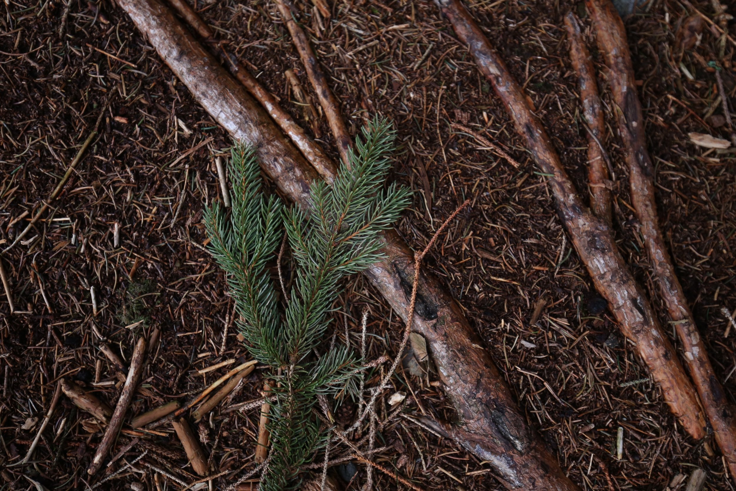 pine and roots