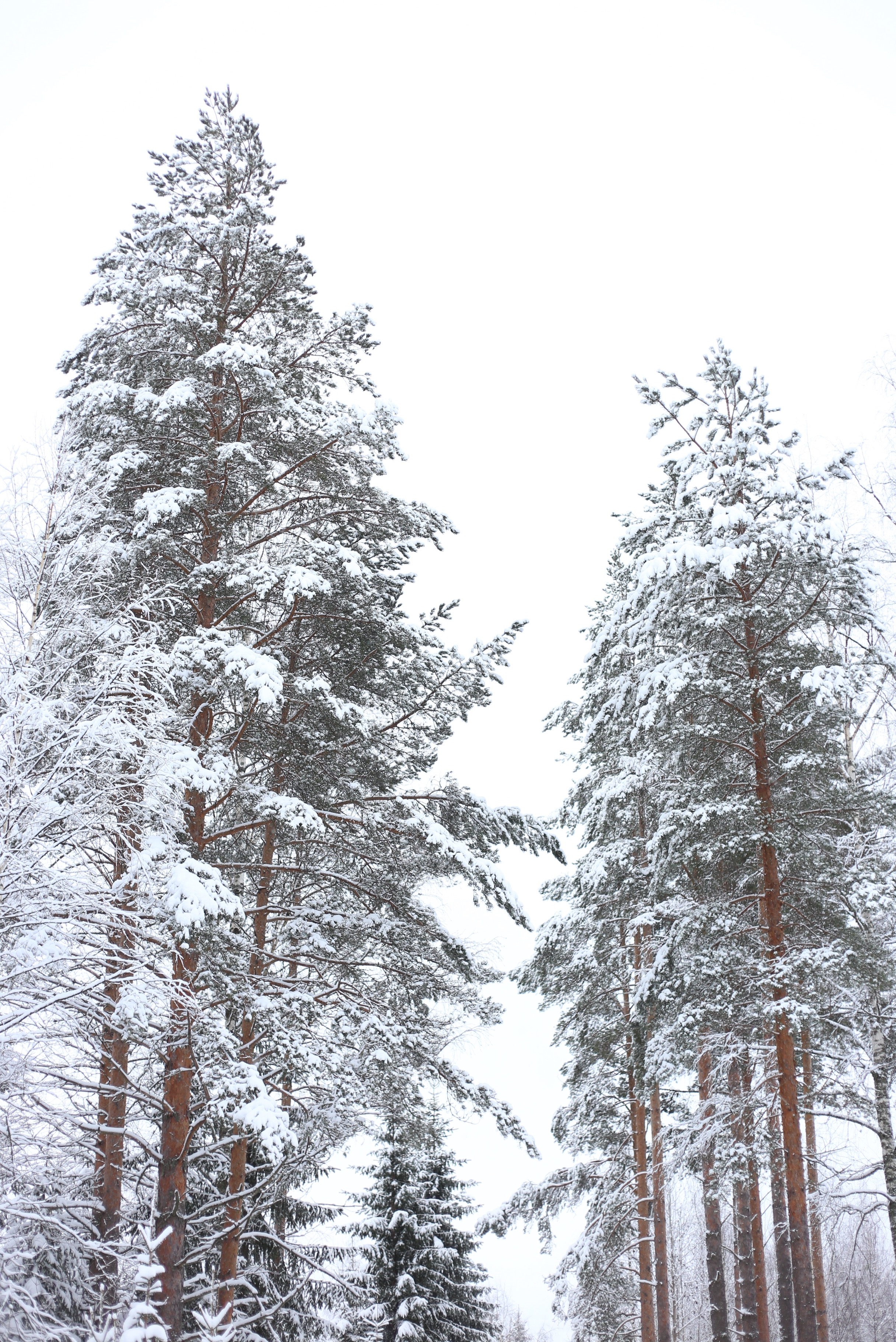 snow covered tall pines