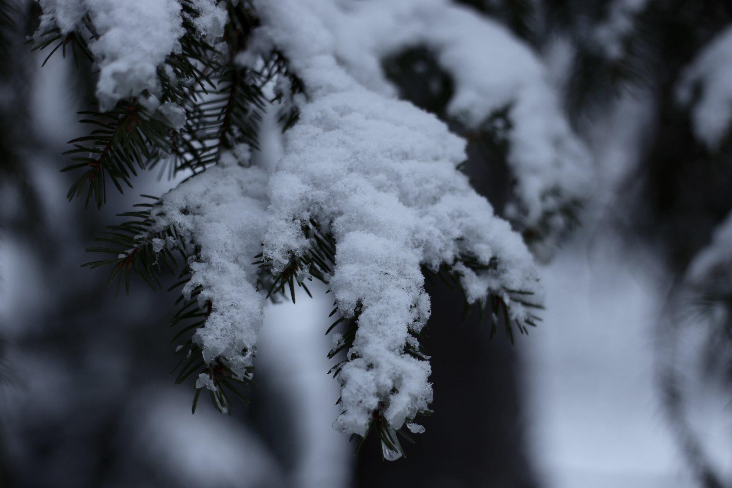 snow flakes on pine needles