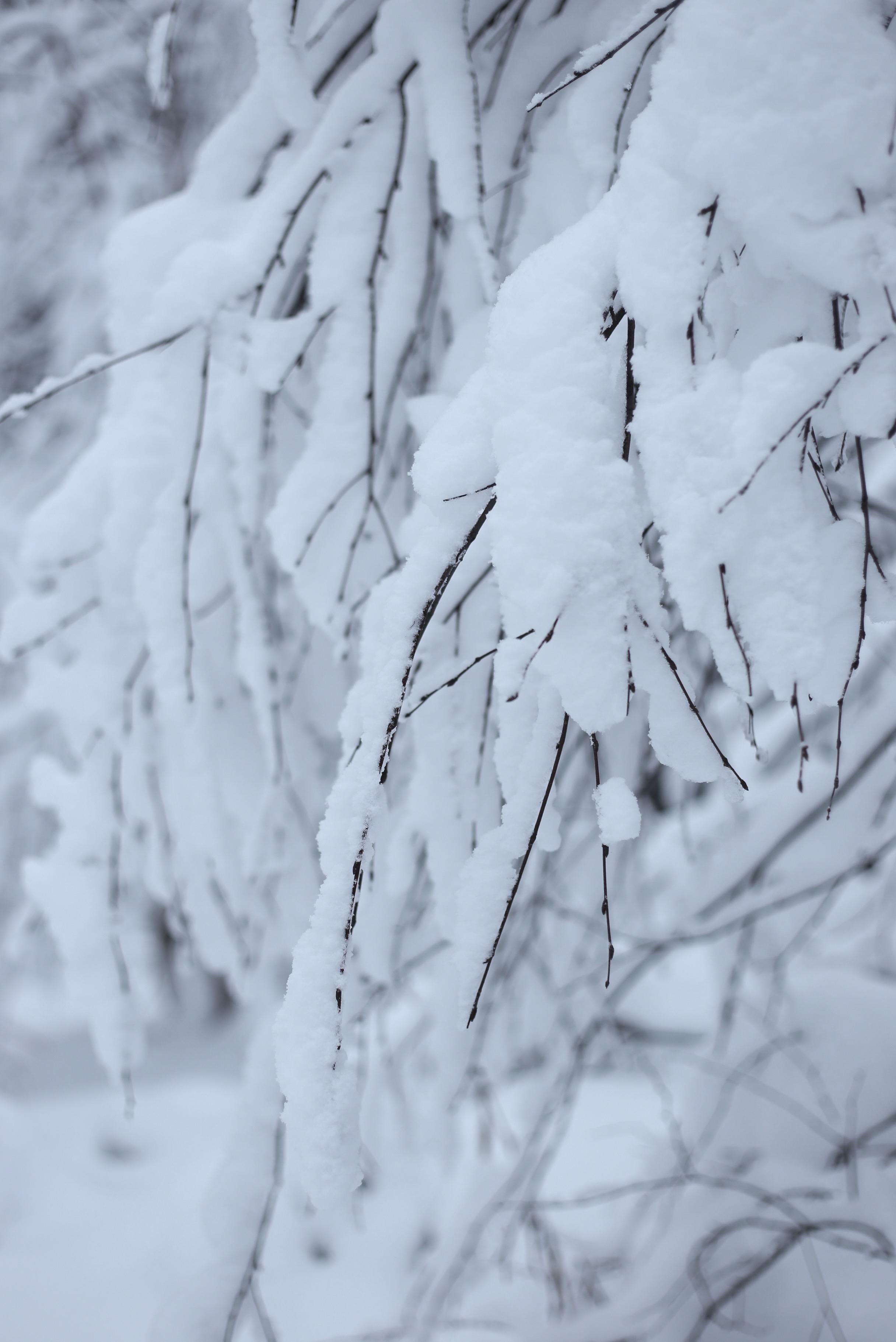 snow piled on trees