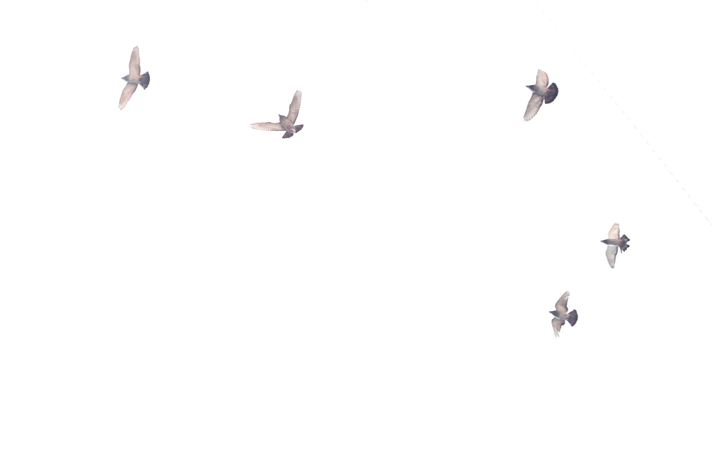 pigeons on white sky