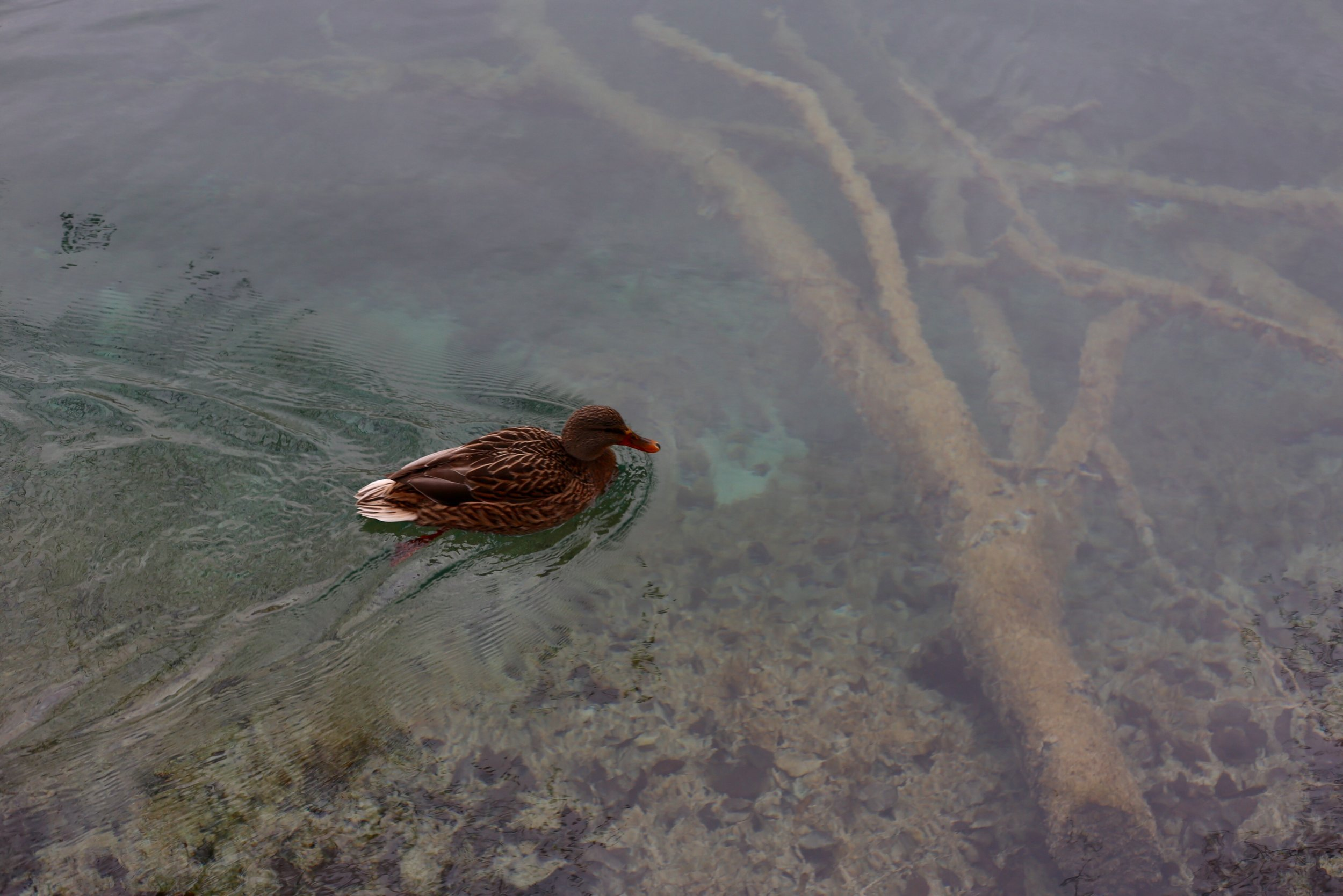 Duck swimming in blue waters.