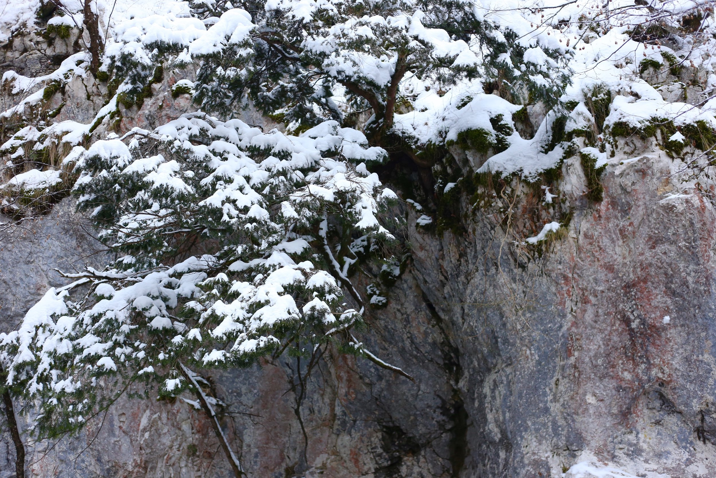 Small pine tree grows from the rock wall.