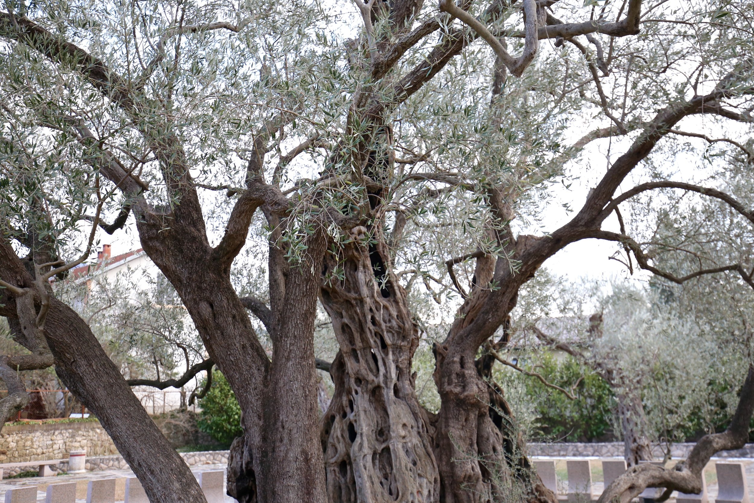Oldest olive tree - with a twisted trunk.