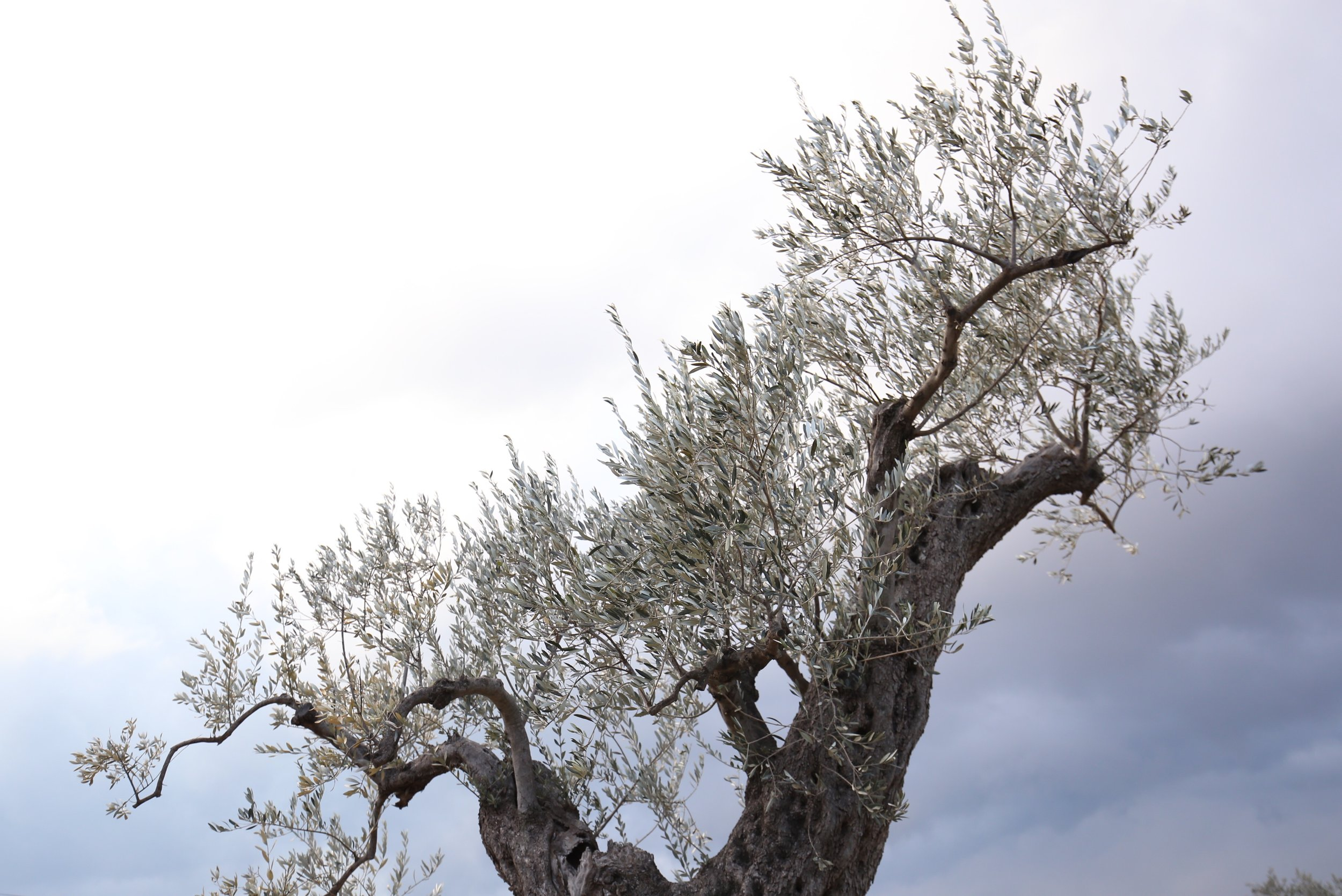 A twisted old olive branch reaches for the sky.
