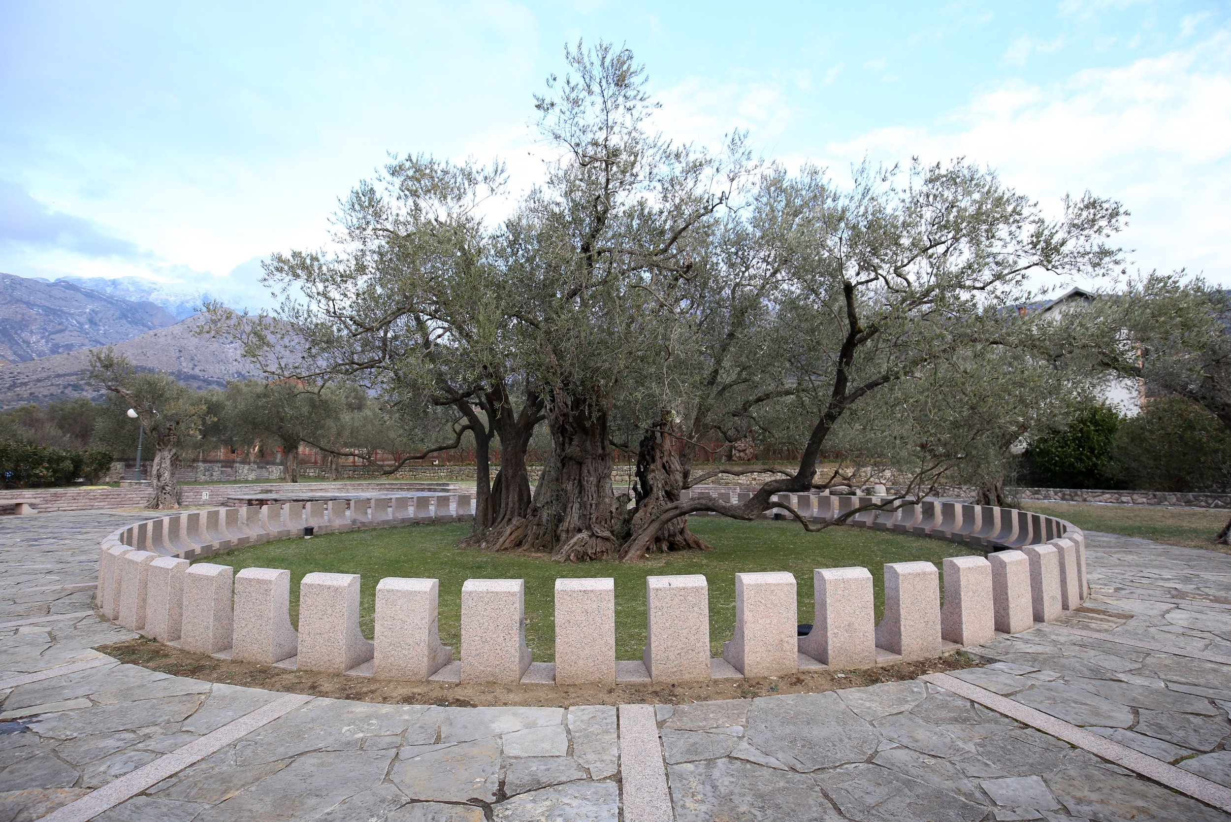 Stara Maslina - oldest olive tree in a circle of stone, Montenegro.
