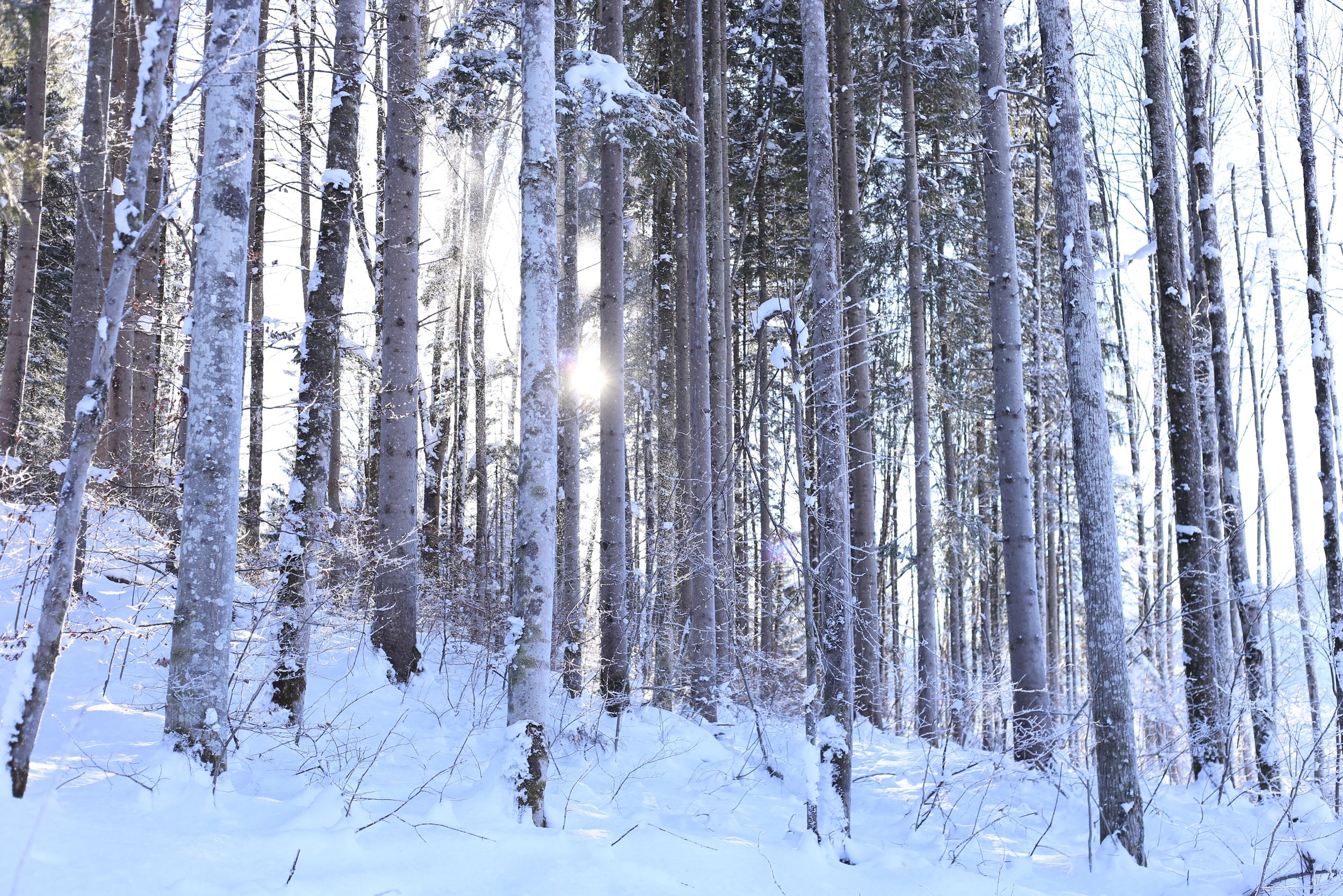 An enchanted forest in winter - with sunlight filtering through the trees.