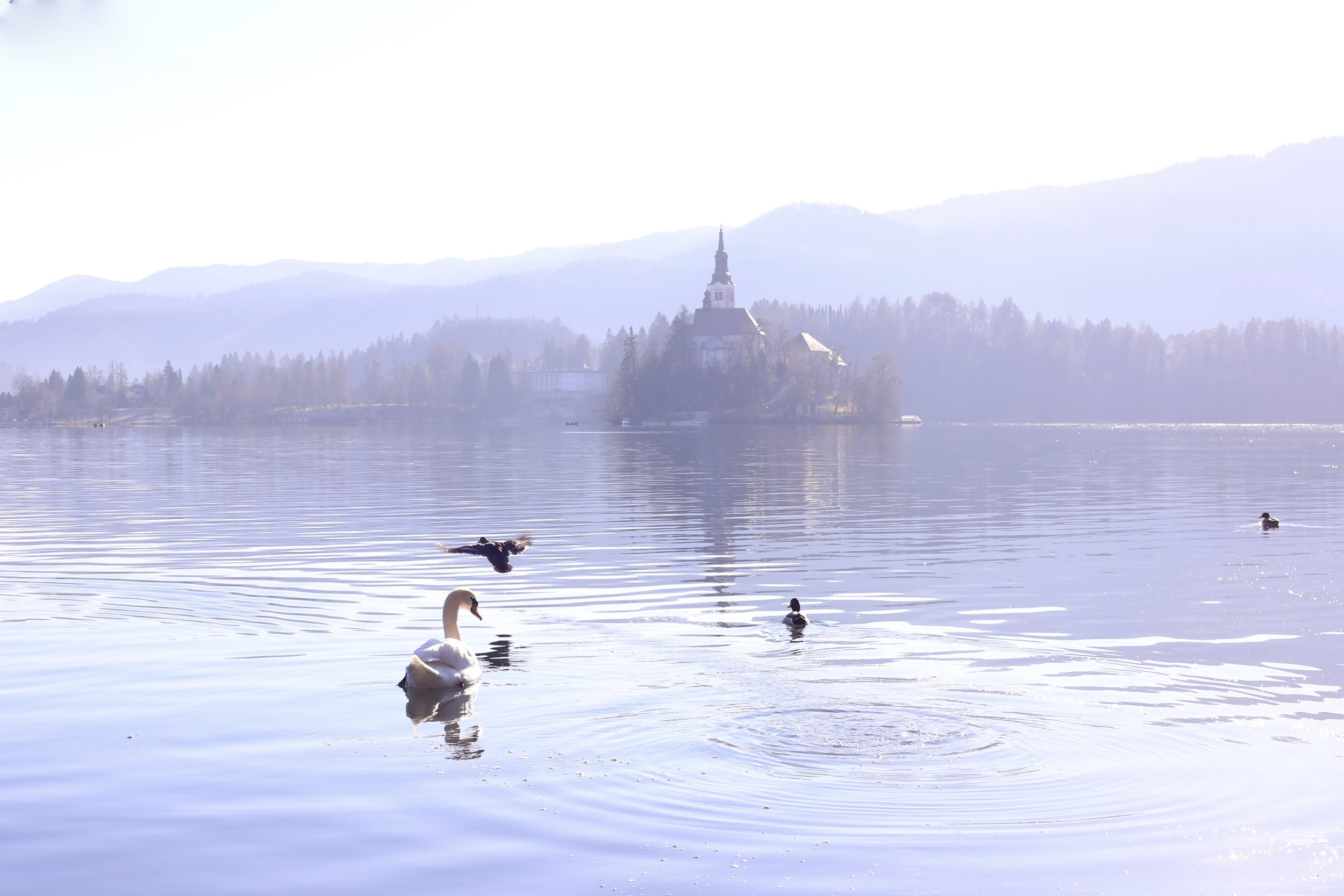 Lake Bled at sunrise with purple water ripples and swans in early morning.