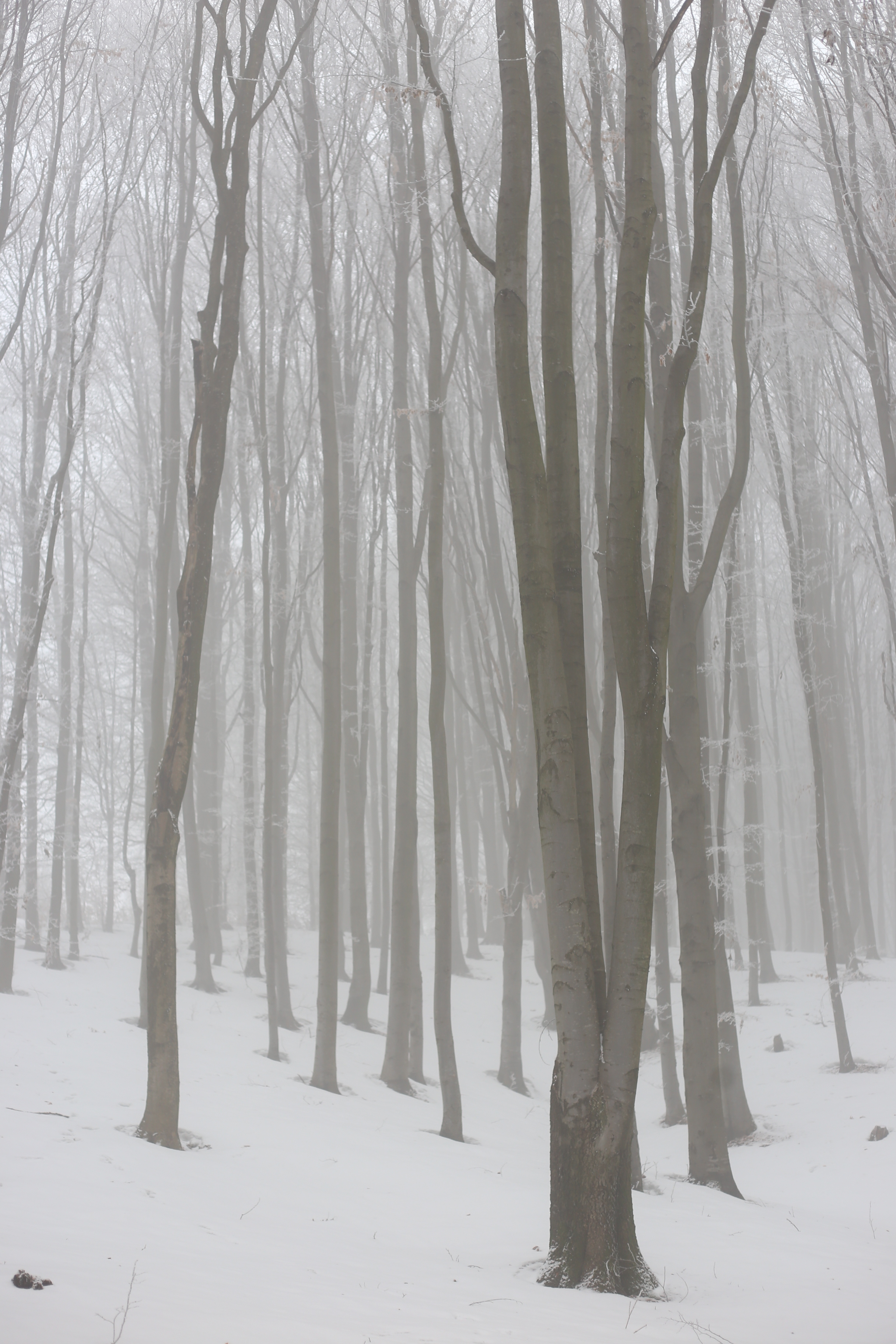 Bare tree trunks in a forest of white frost.
