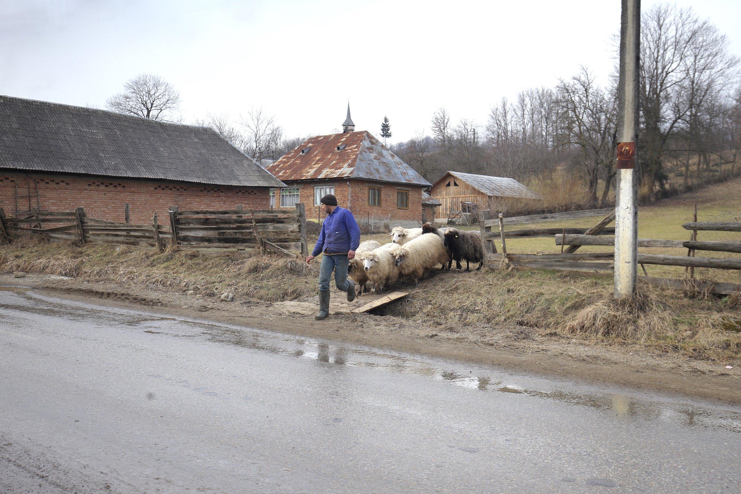 A shepherd leads a small flock across a Romanian road.