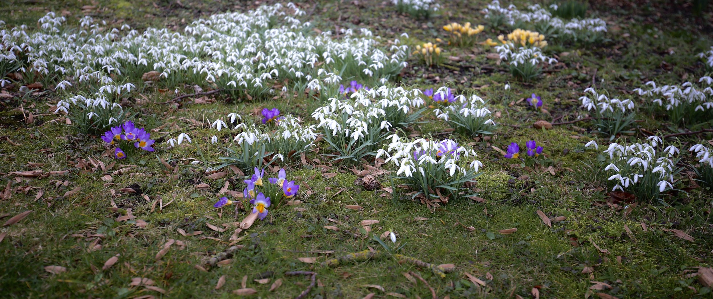Snowdrops and crocuses in Giethoorn, Spring in the Netherlands.