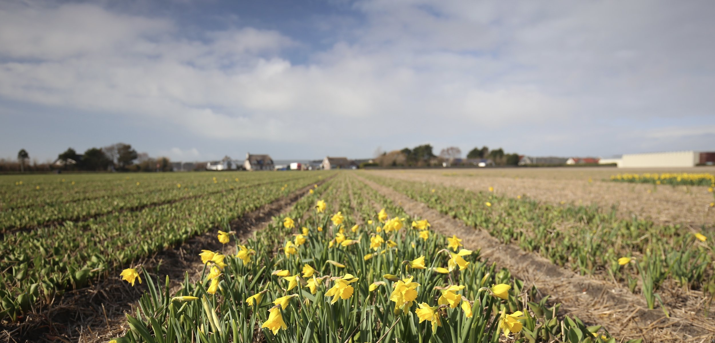 Fields of daffodils before the tulips come out, outside the city of Amsterdam.