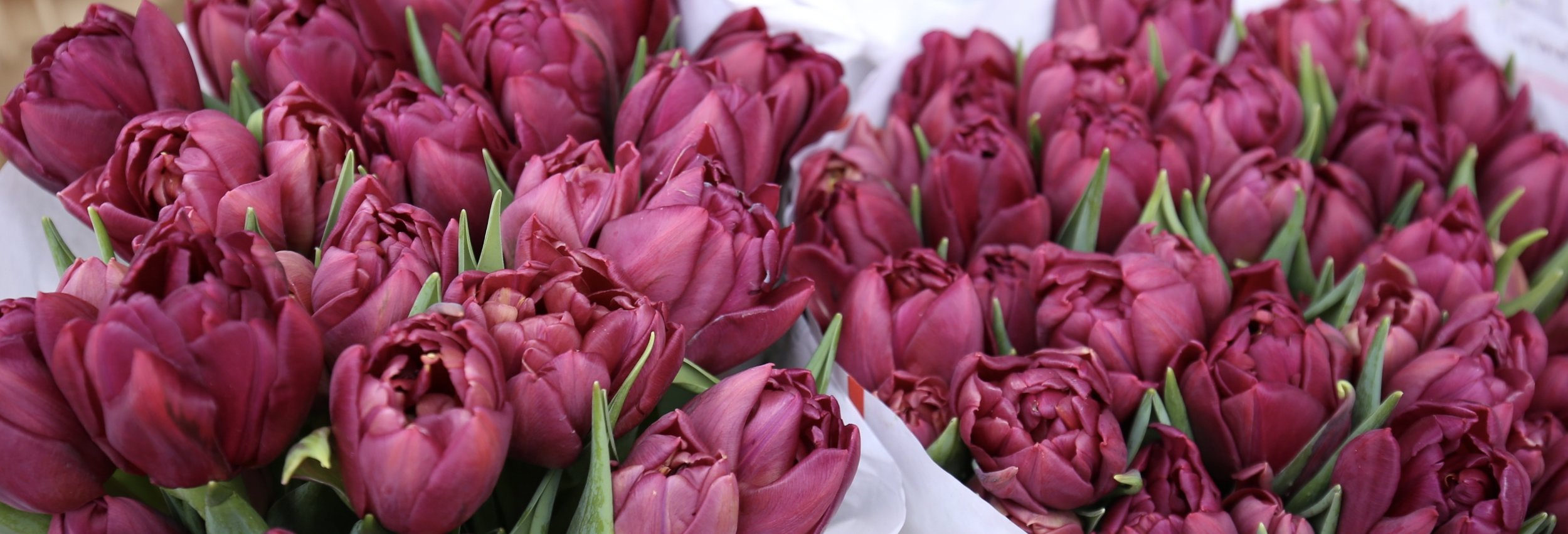 Magenta tulips all crowded together in the dutch flower markets.