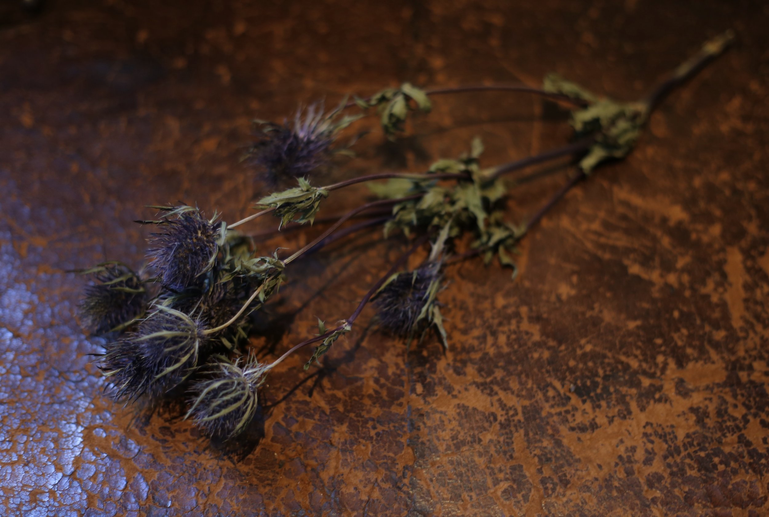 Dried thistle flowers on a leather seat in Rembrandt's house.
