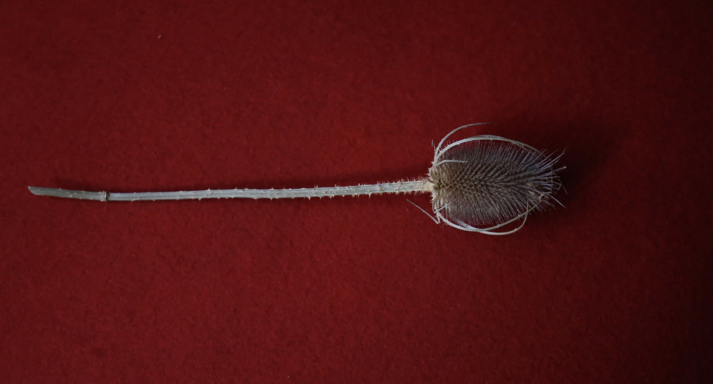 A dried thistle seed head on red wool.