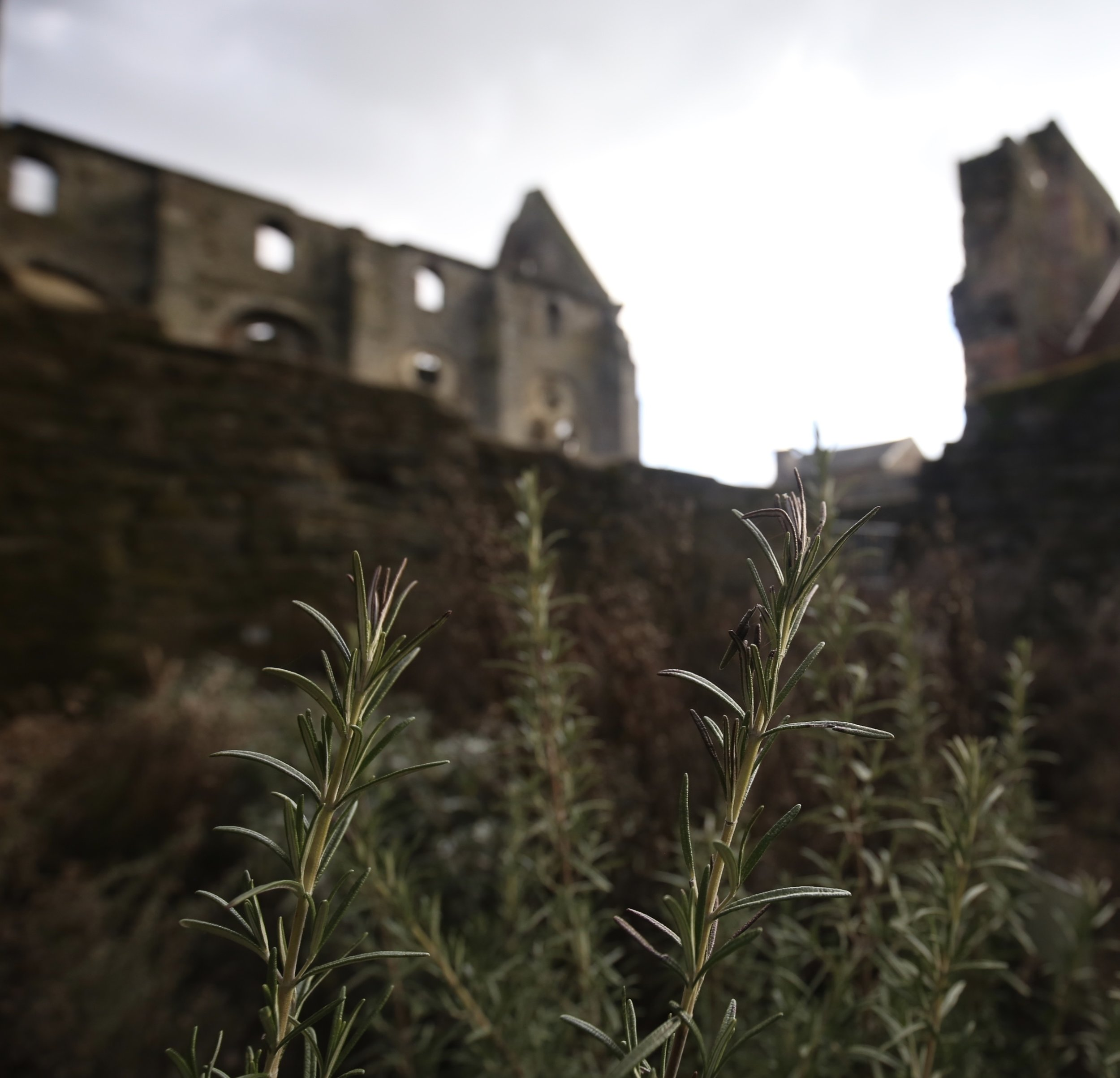Rosemary still grows in the gardens of the ruined Abbey of Villers.