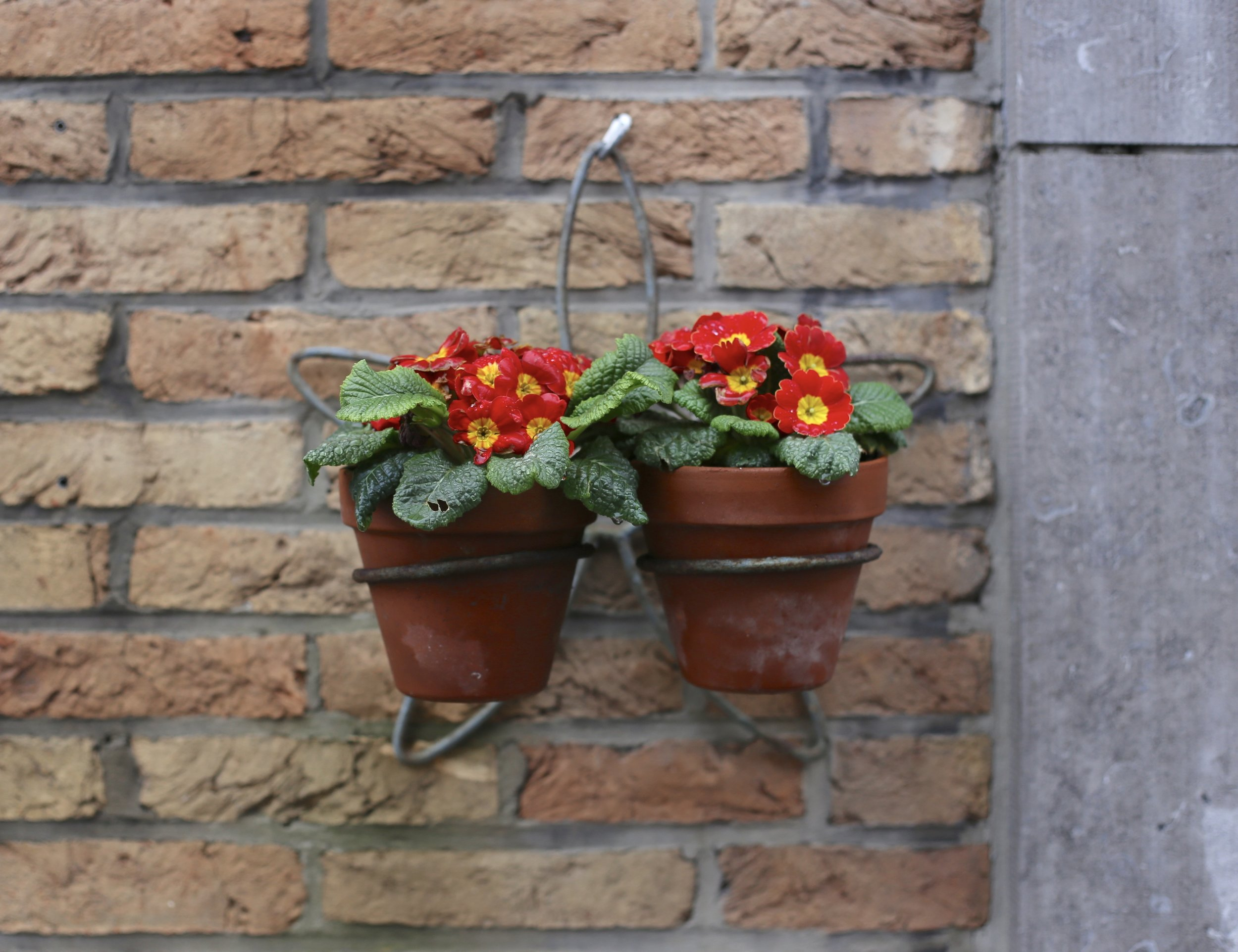 Primroses in pots hung on a brick wall.