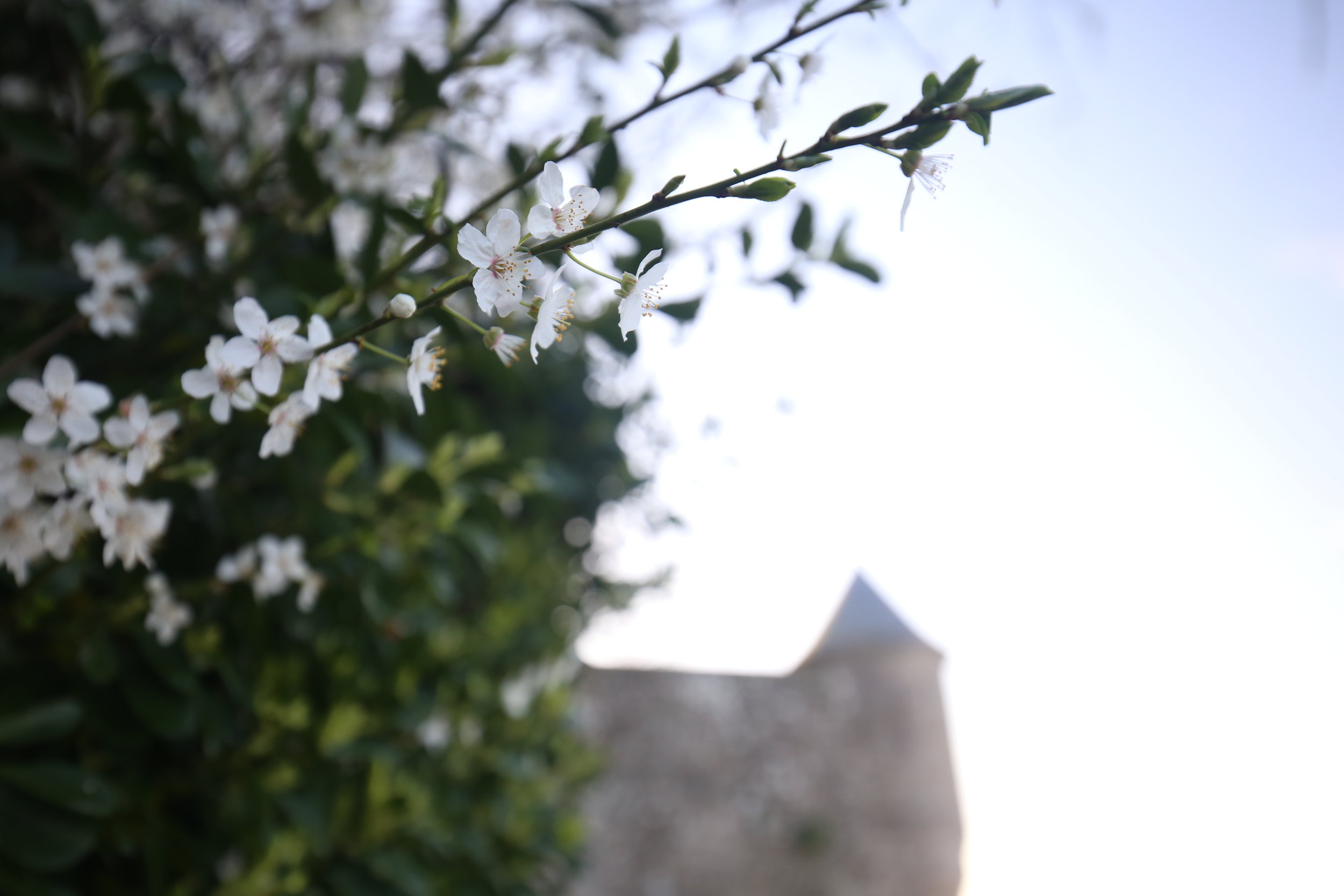White cherry blossoms and stone castles.