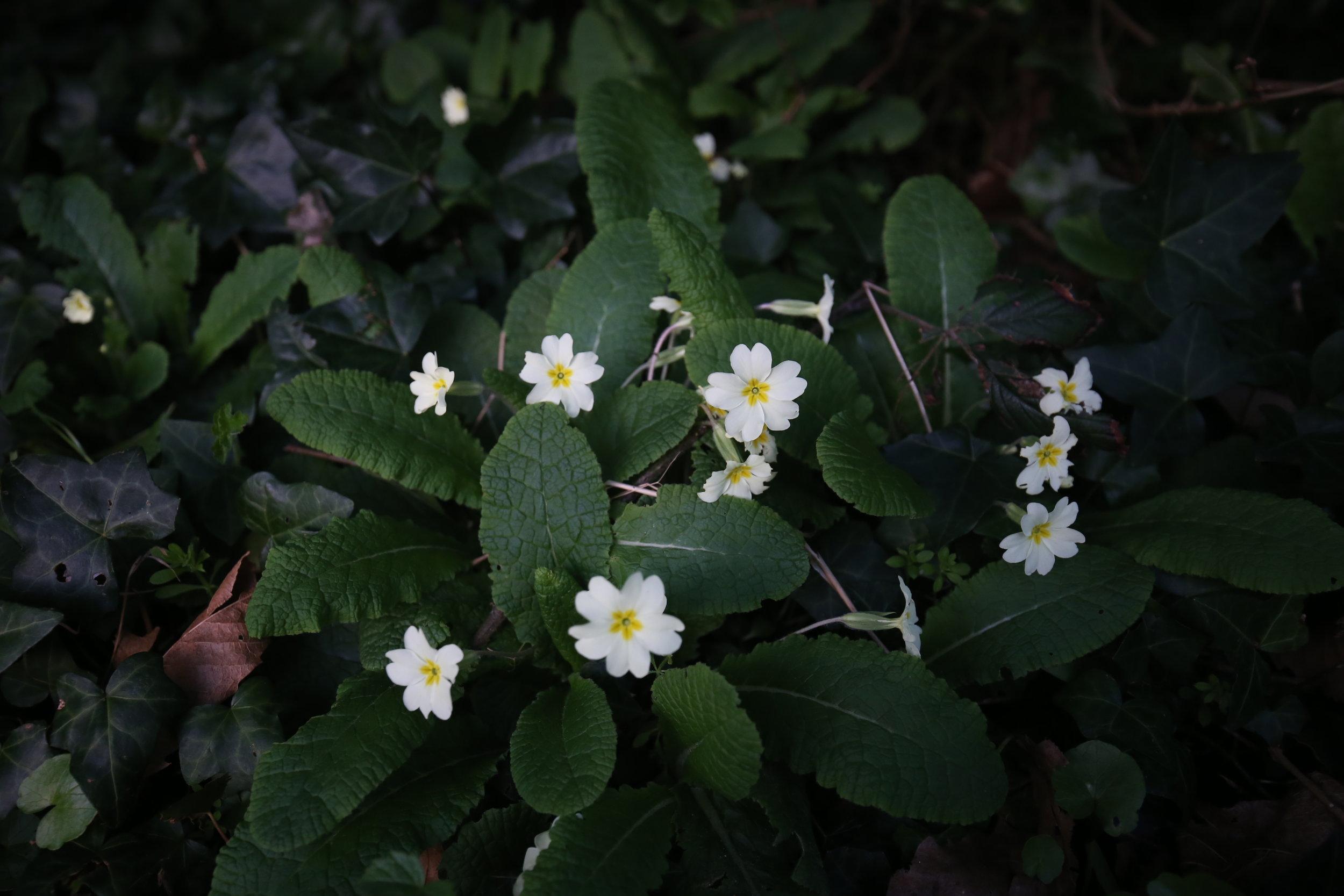 White primroses in the dark.