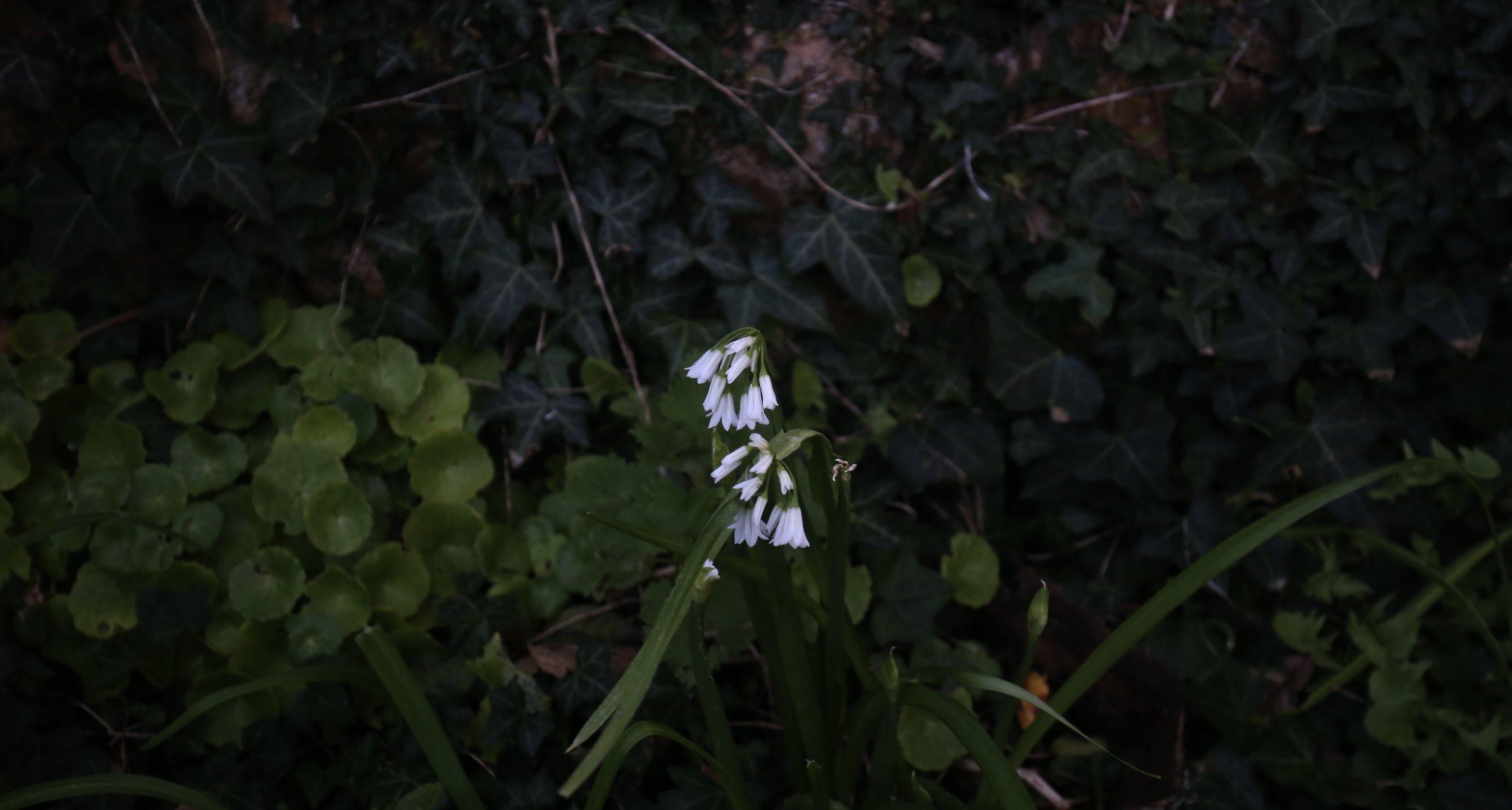 White snowdrops in the dark.