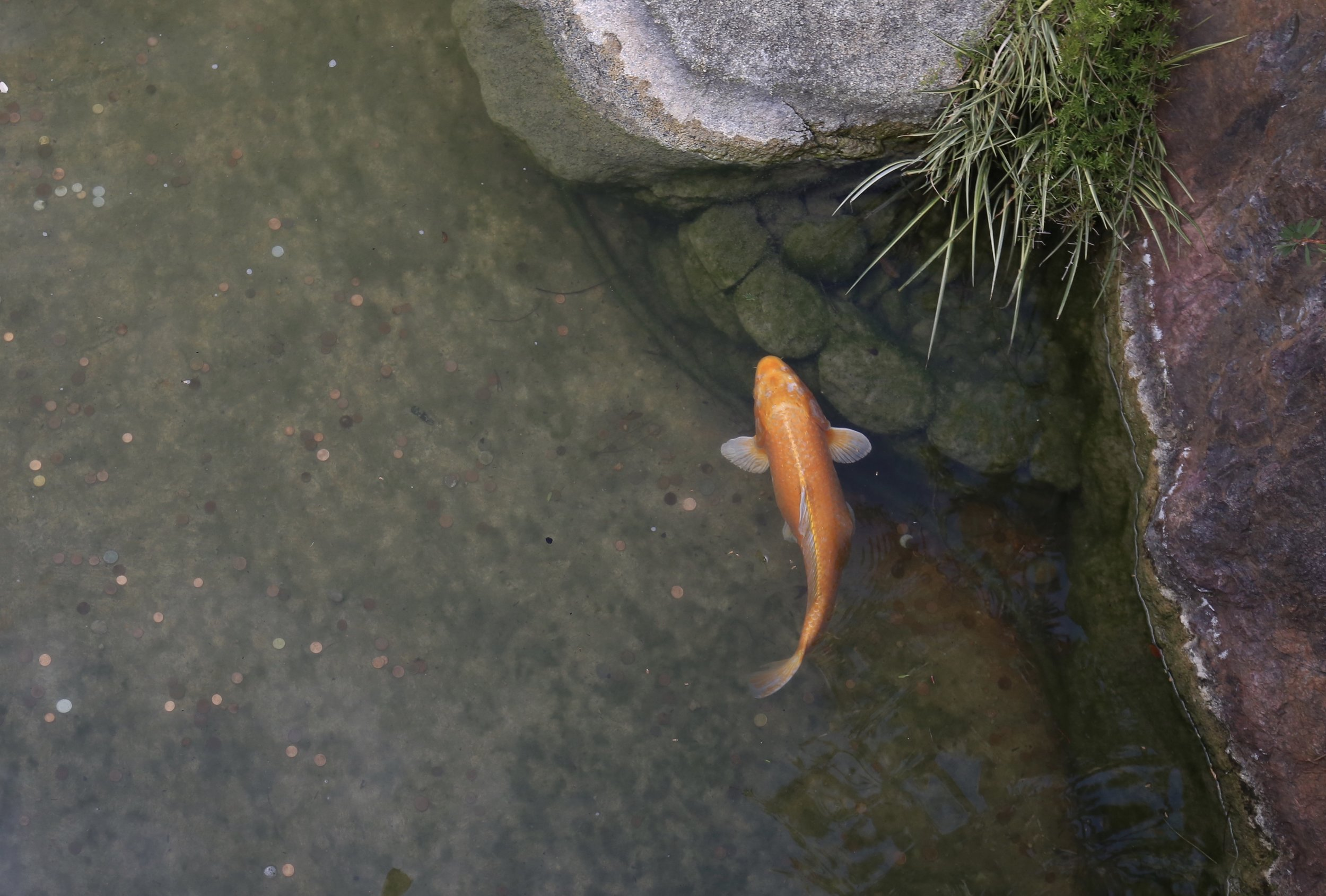 A koi fish in a pond, with rocks and coins. Zen image.