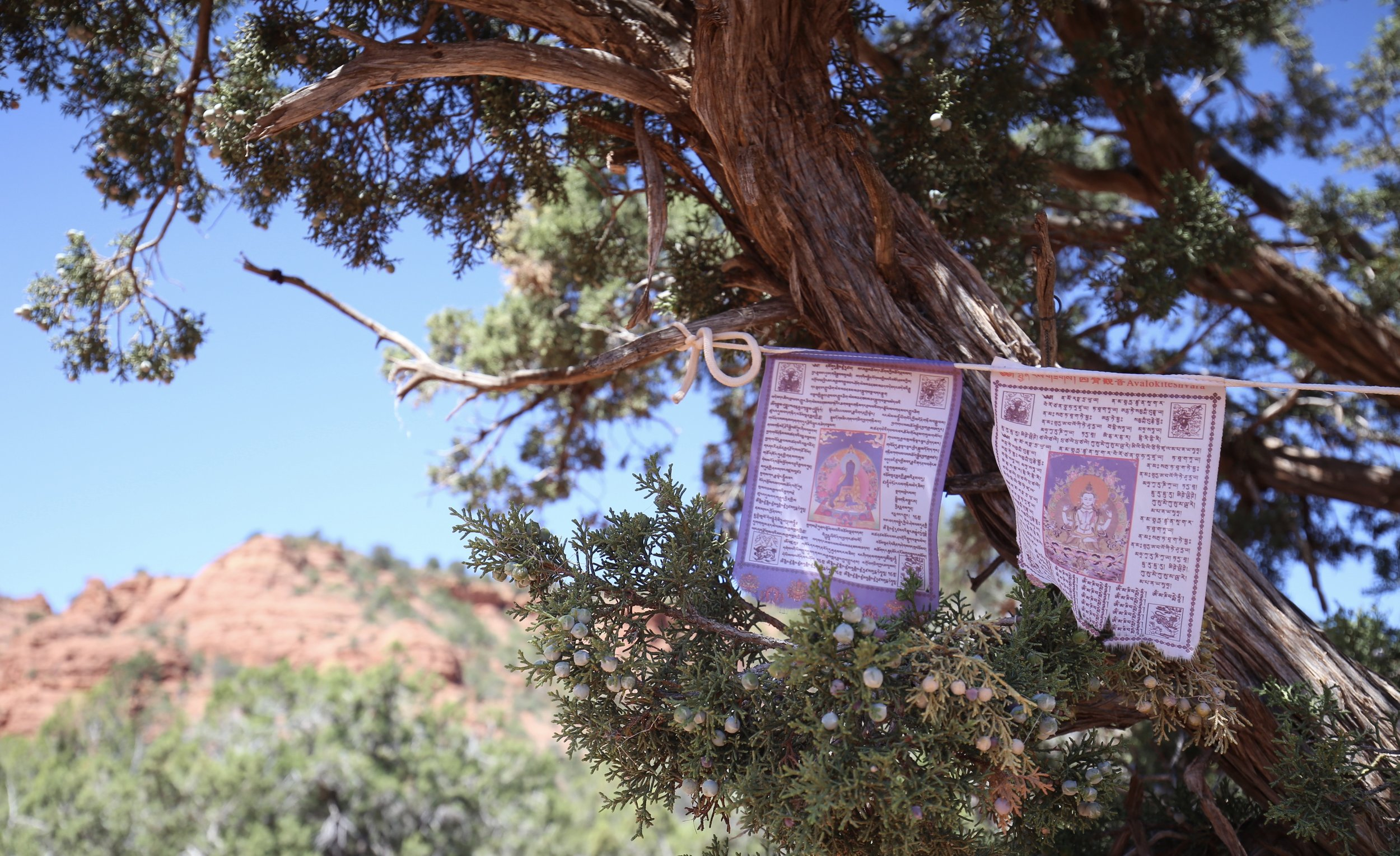 Purple prayer flags in a pinion tree.