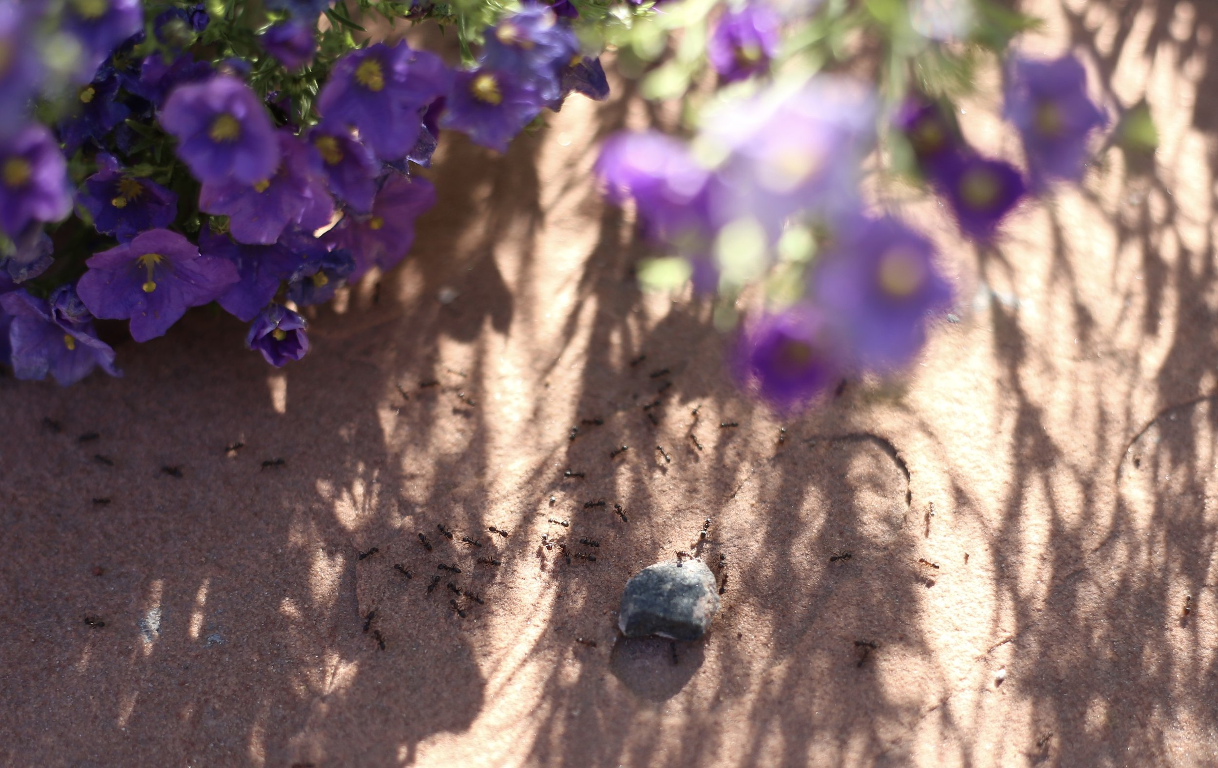 Busy ants beneath purple blooms.