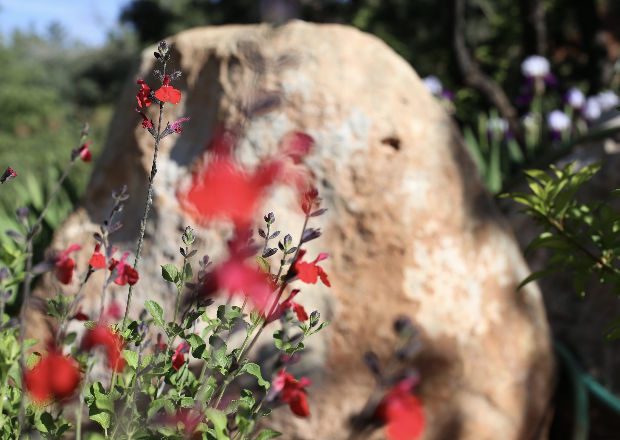 Red flowers by a pink rock, swaying in the breeze.