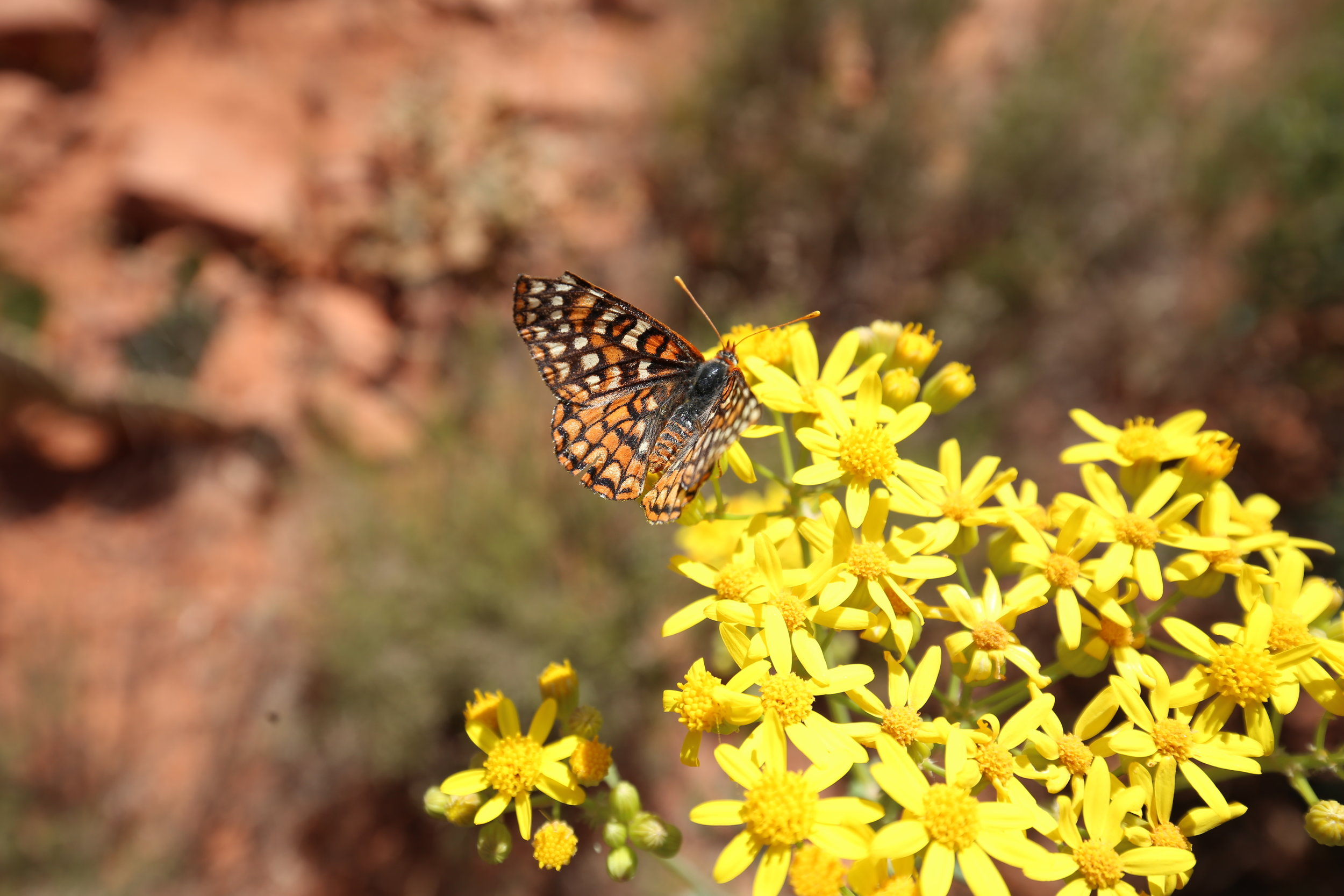 Orange and black butterfly in the Arizona desert.