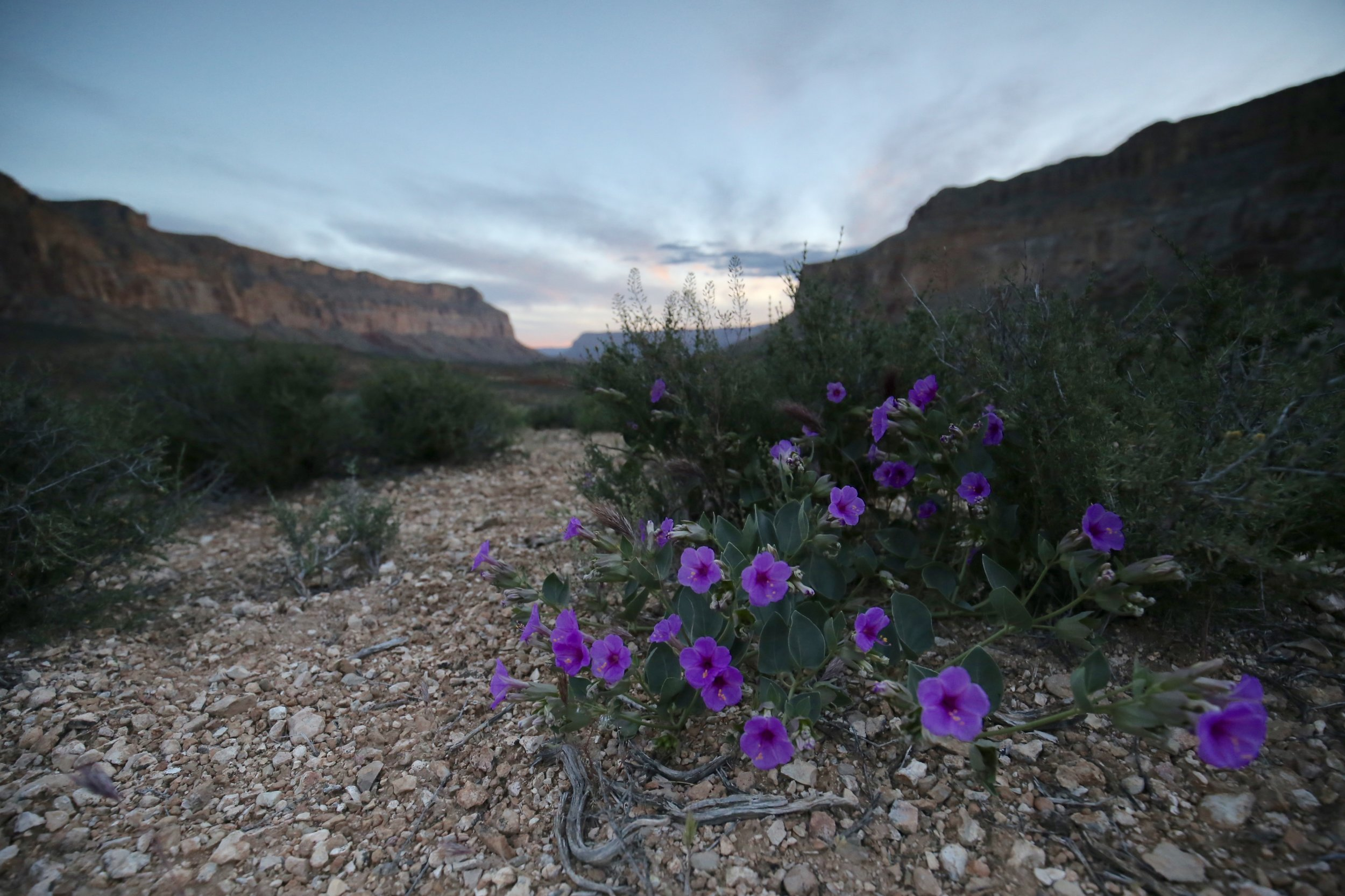 Purple flowers blooming at dawn in the Grand Canyon.