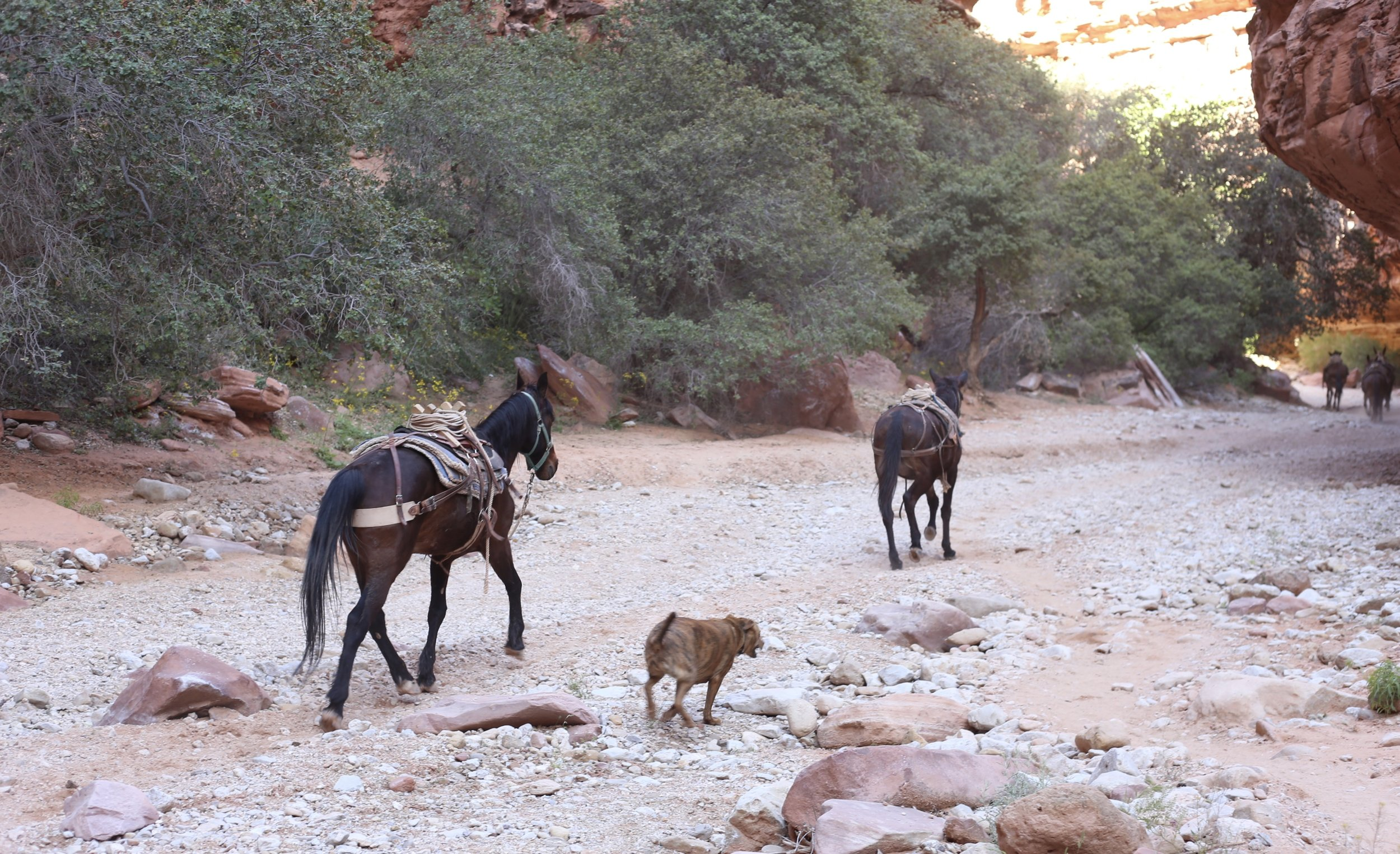 Horses running free in the Havasupai Canyon.