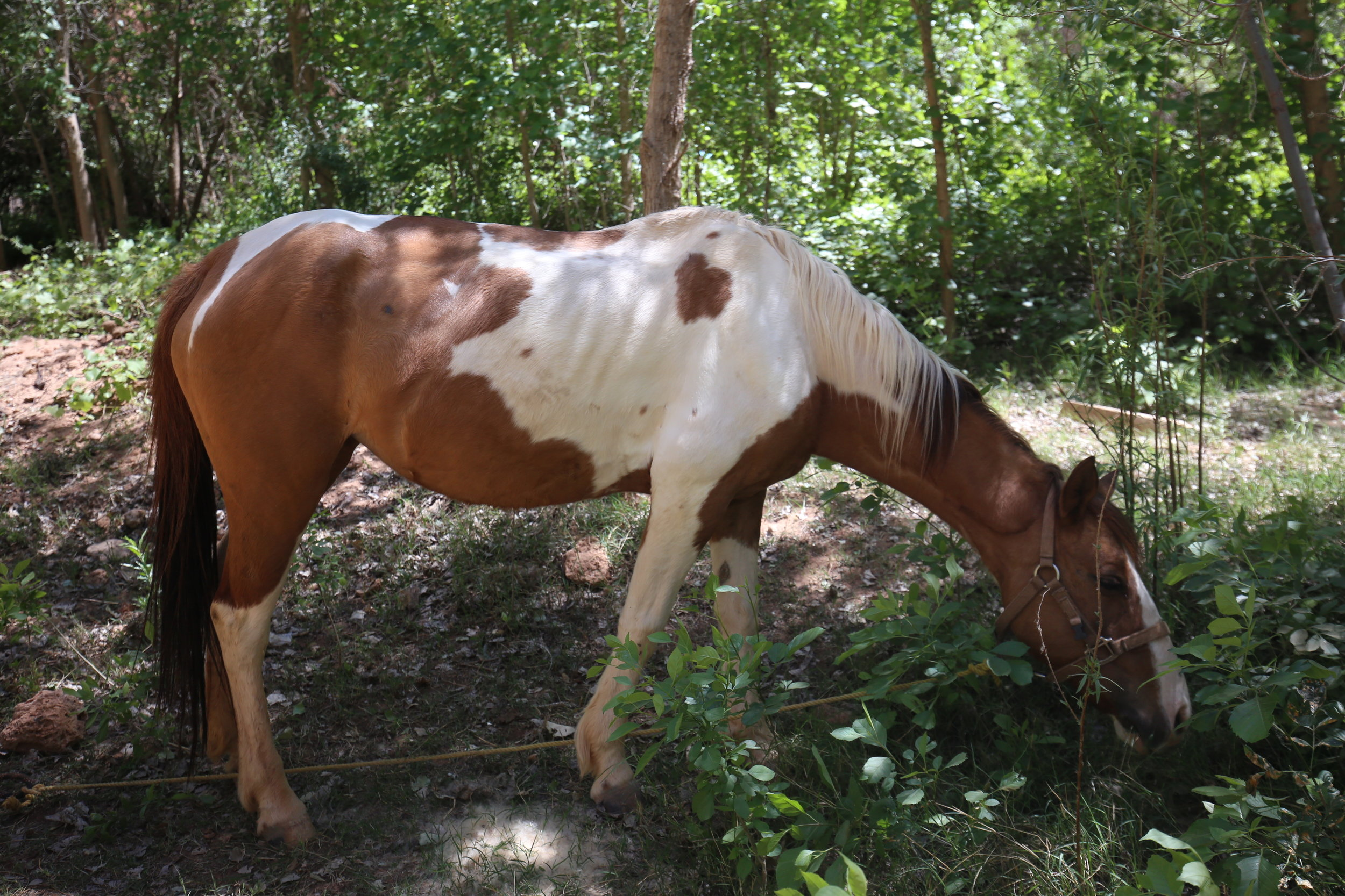 A brown and white spotted wild horse in Havasupai.