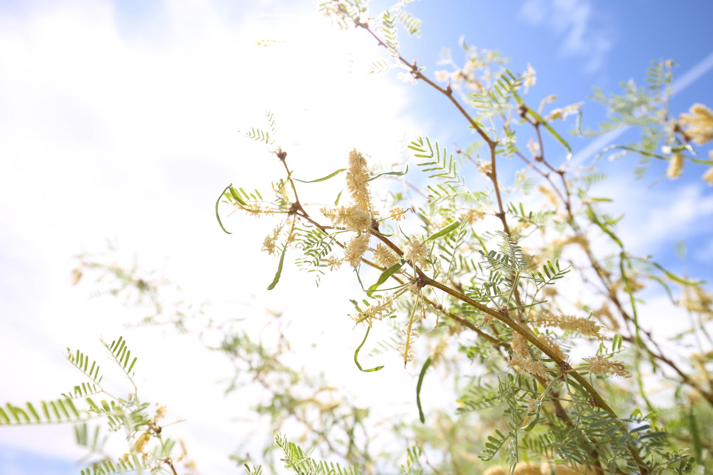 mesquite-flowers-desert-az