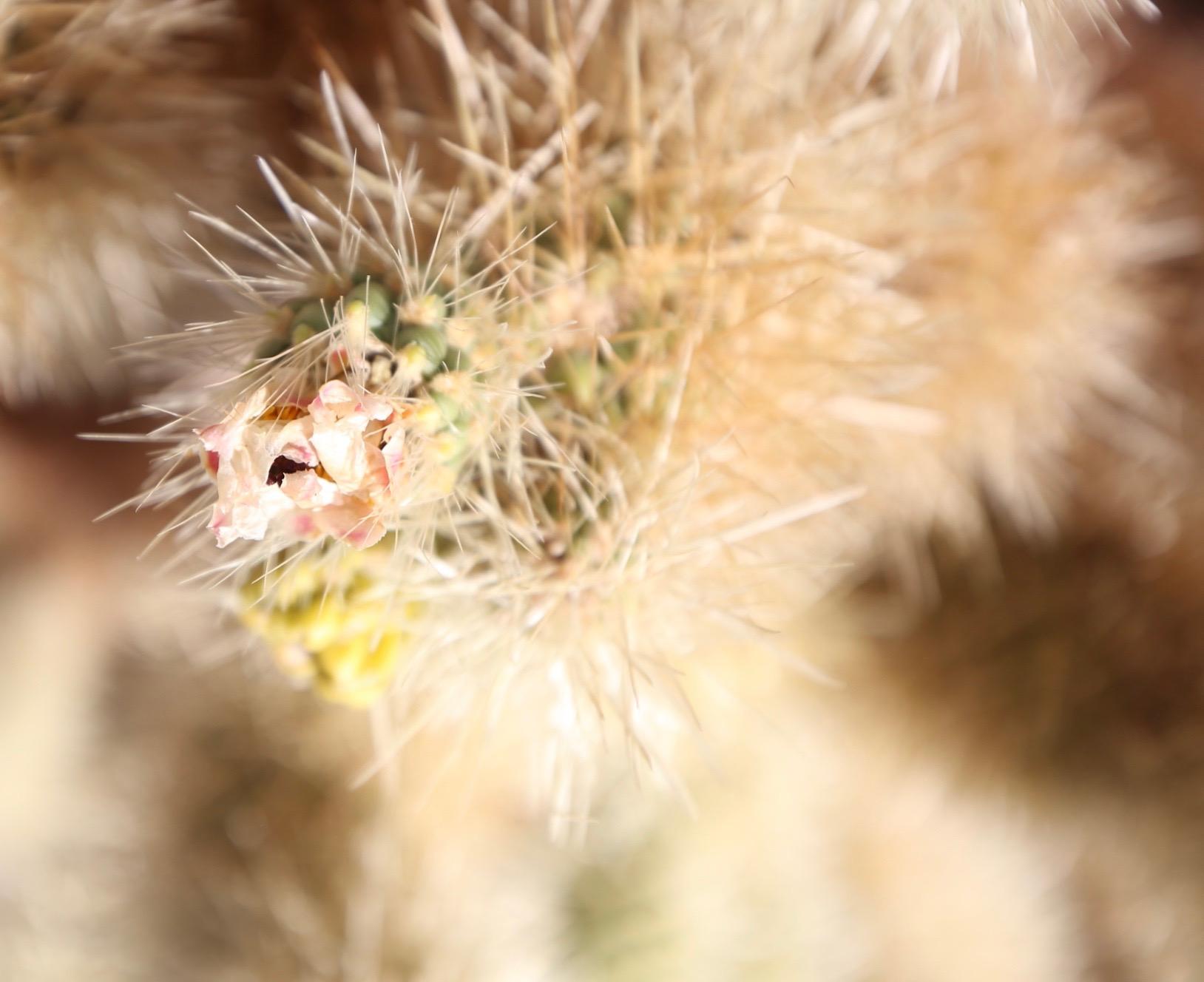 cholla-cactus-flower