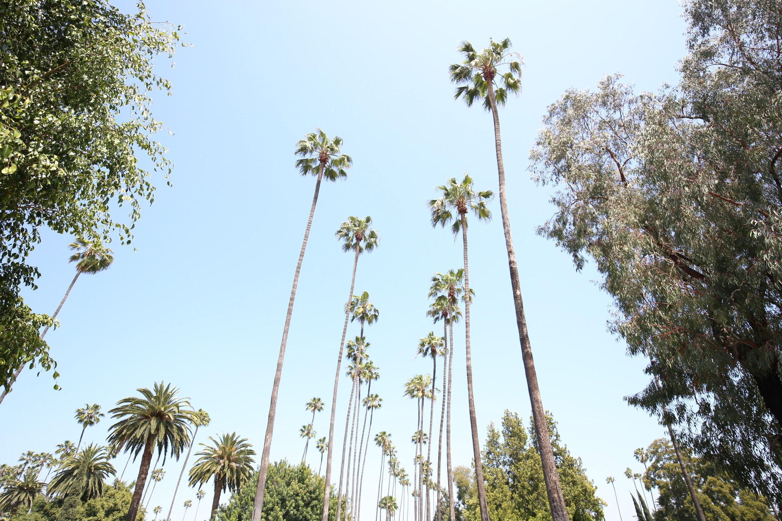 hollywood-palms