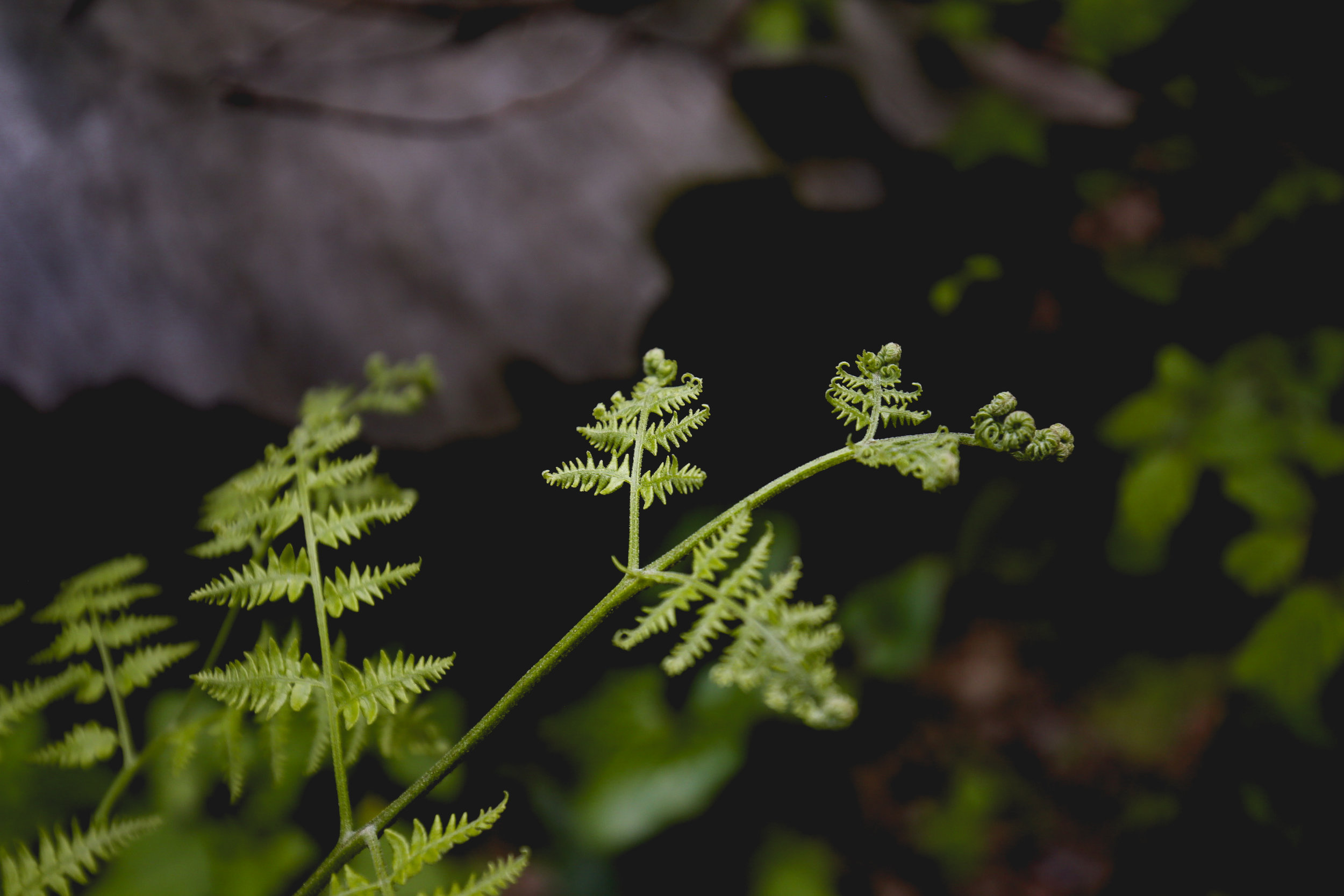 ferns-in-the-forest