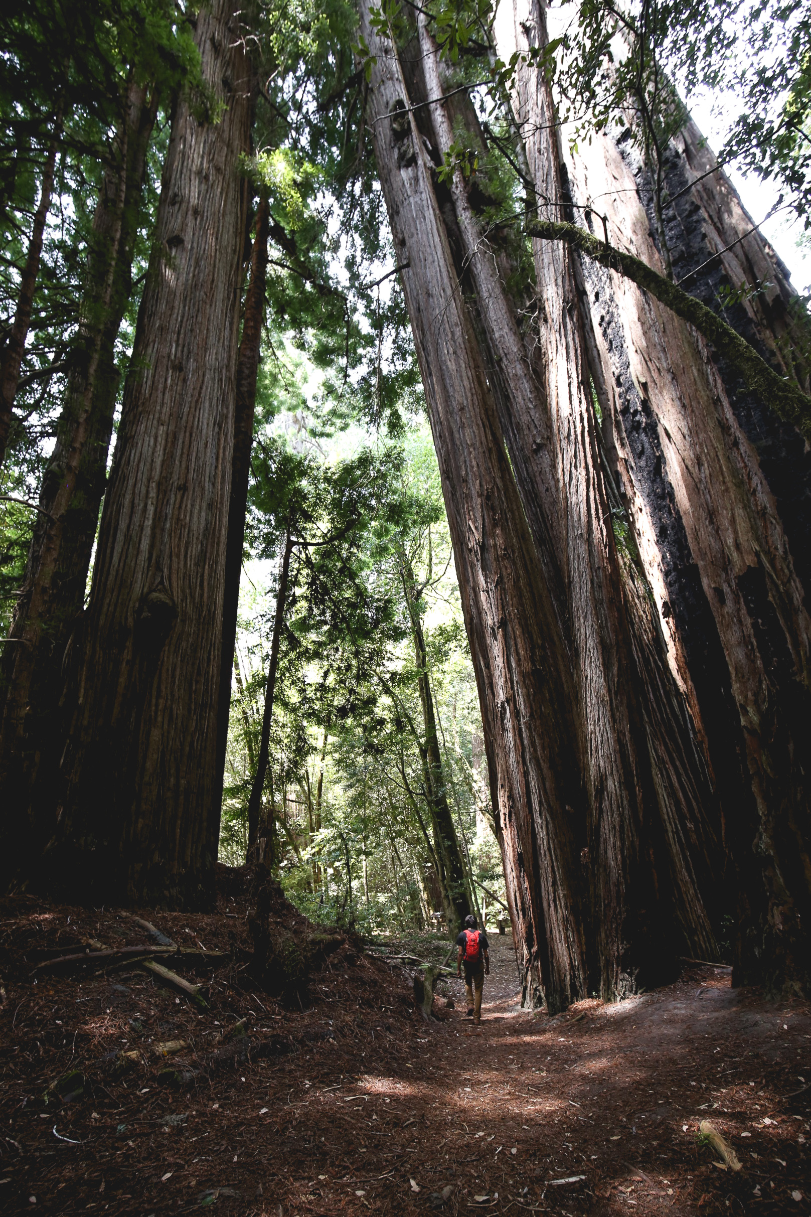 ollie-beside-giant-redwoods