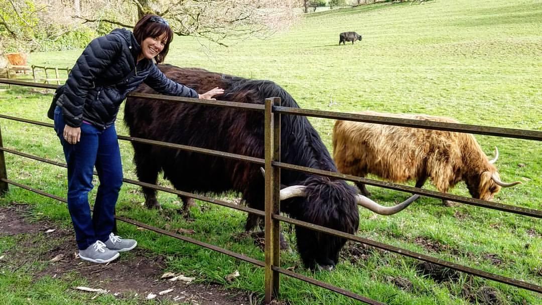Heeland Coos (Highland Cows).
