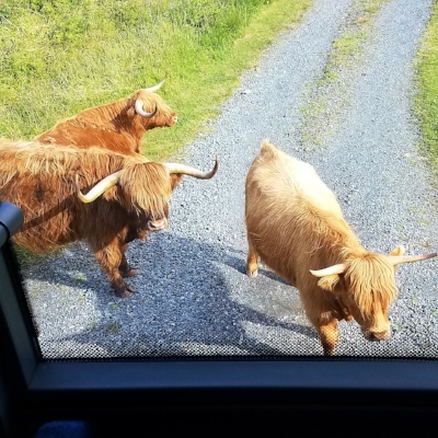 Highland coos looking for a ride