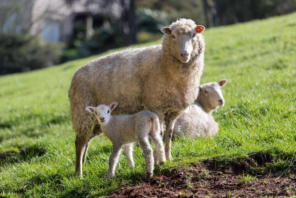 Sheep+and+white+lamb.jpg