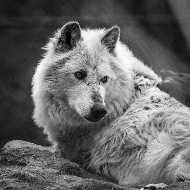 Dat look… 👀  #tbt makin' friends in Yellowstone.   #blackandwhite #wildlife #wolf #nature #canon #wildlifephotography