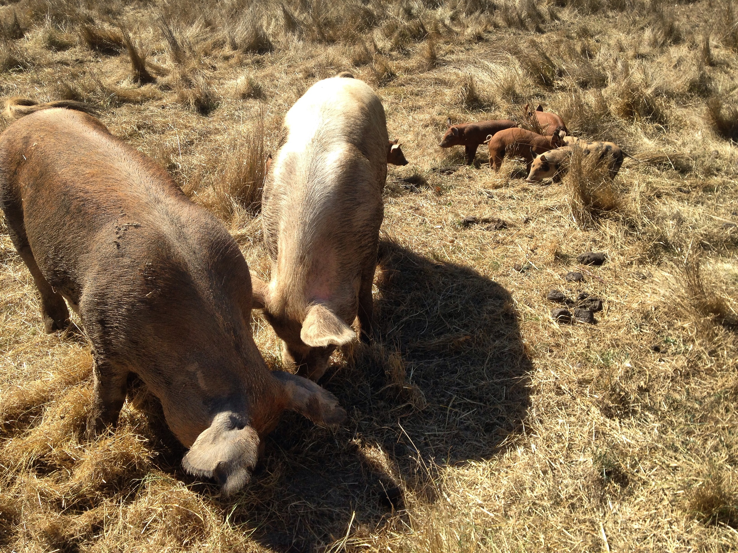 These pigs were much more interested in eating than in looking at the camera.