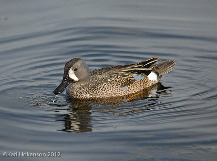 Blue_winged_Teal_2.jpg