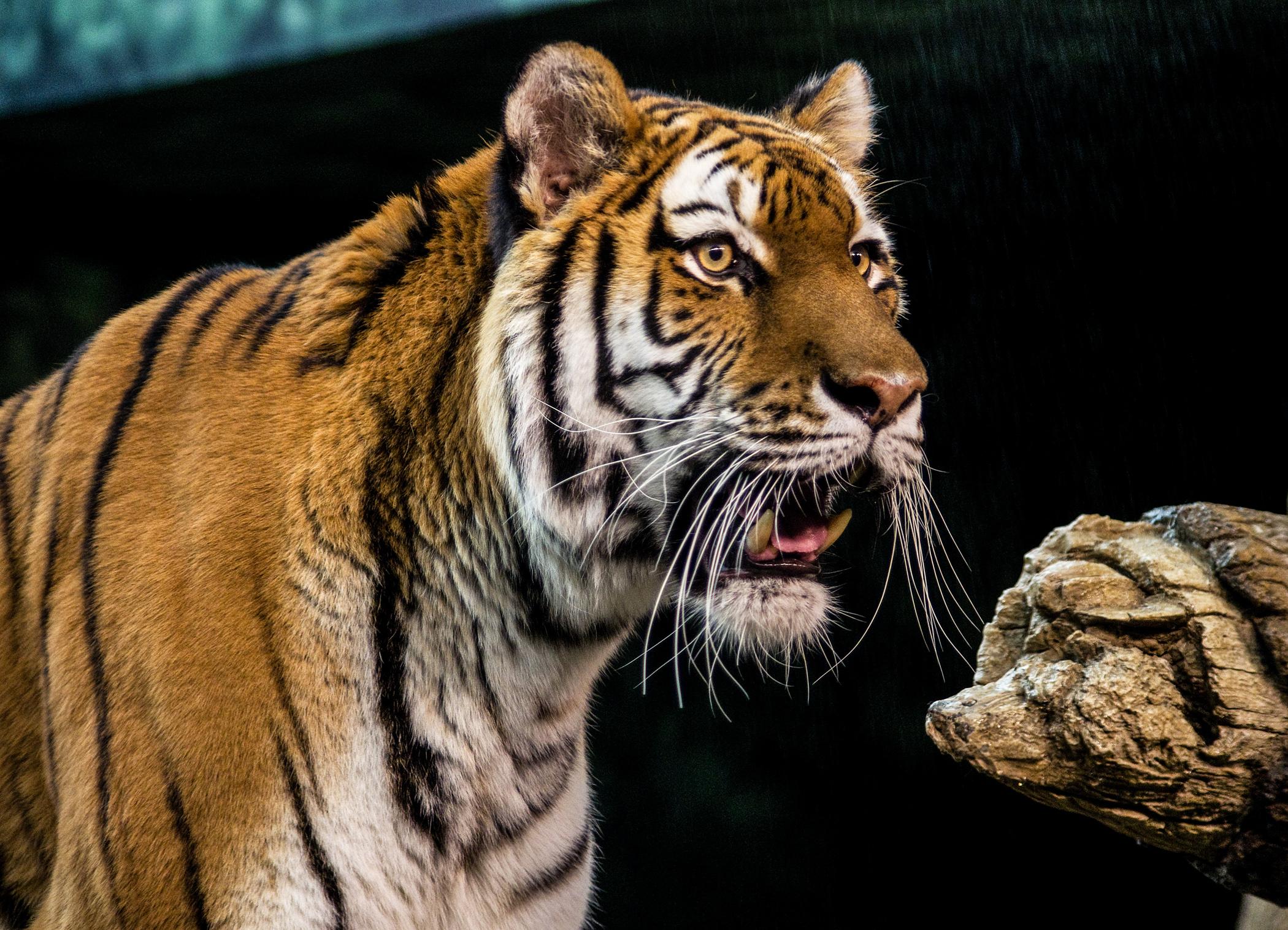 2013 Mke Zoo Tiger at 2100.jpg