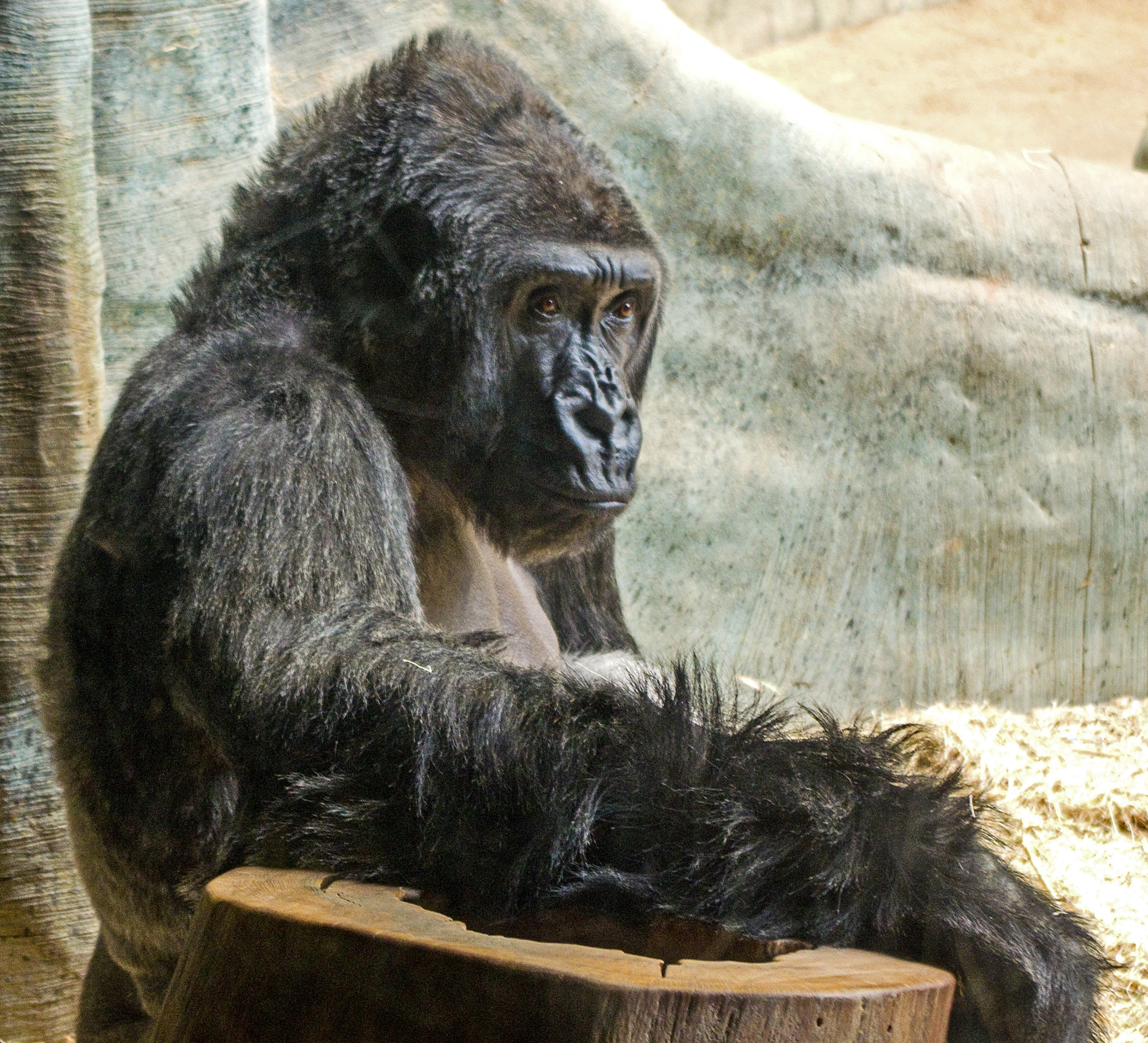 2013 MKE Zoo Gorilla at 2100.jpg