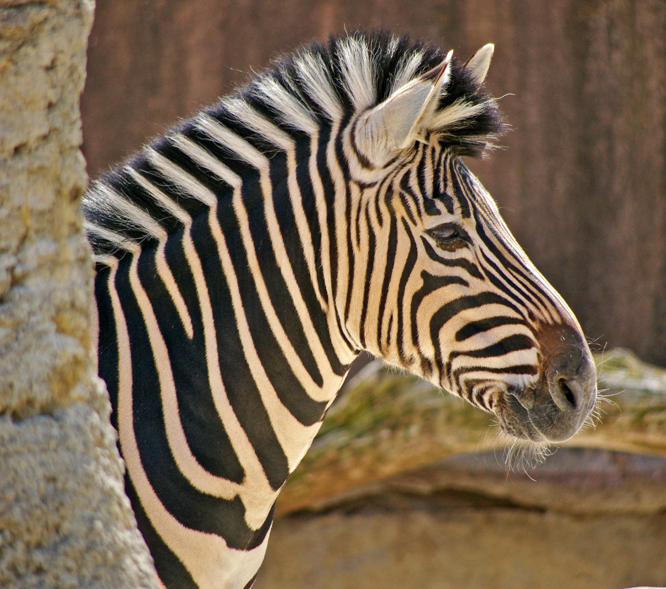 Mke Zoo Zebra at 2100.jpg