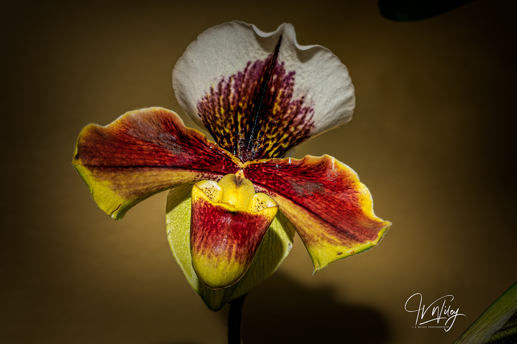 Slipper Orchid.jpg