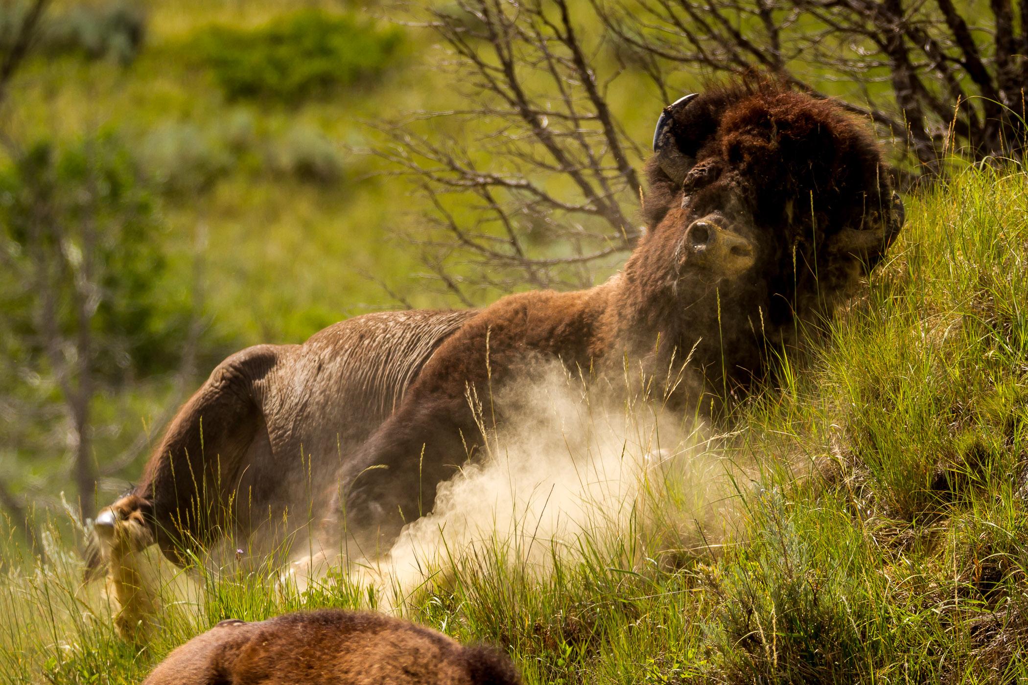 Dust Bath - Theodore Roosevelt National Park