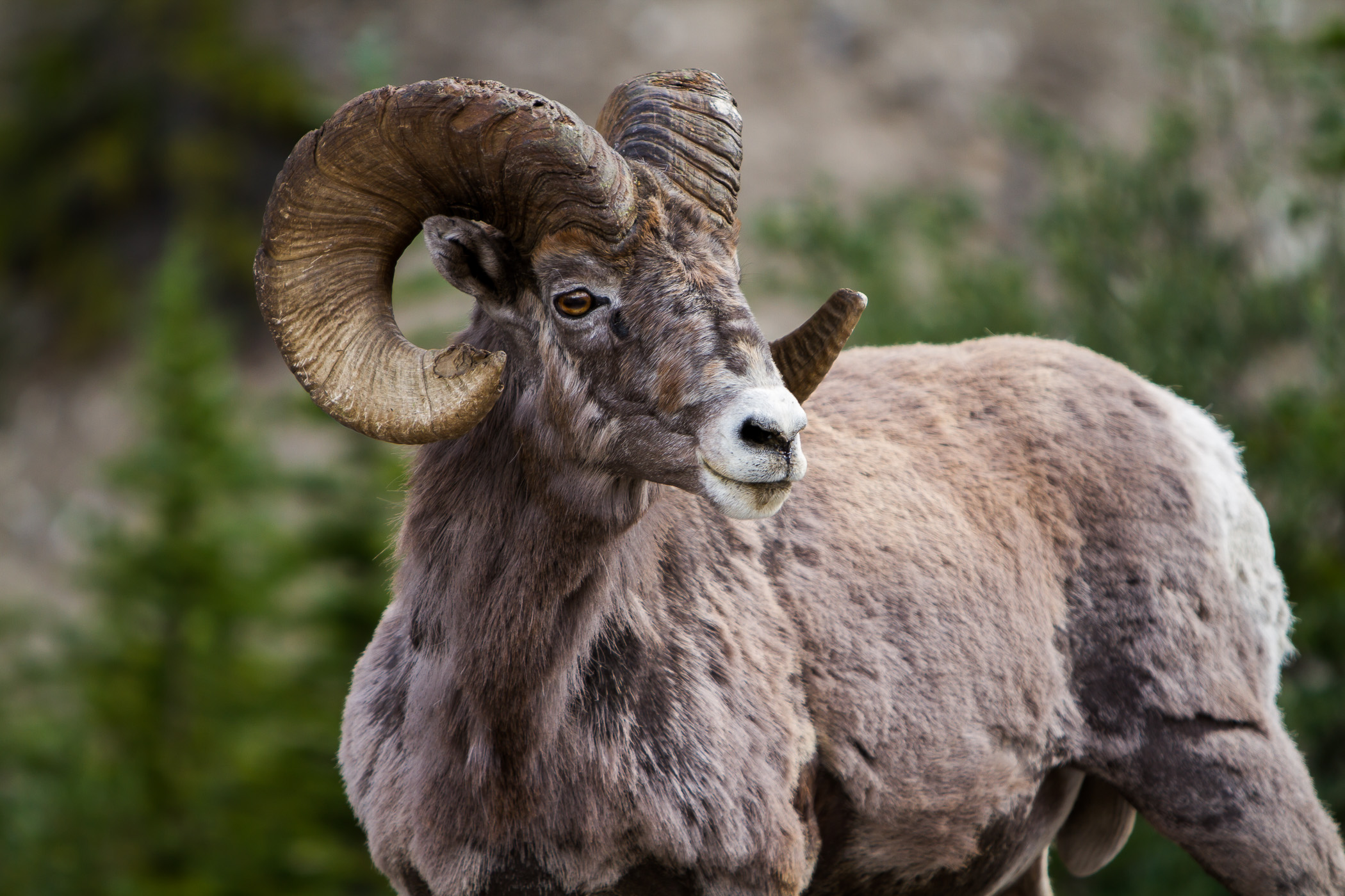 Big Horn - Banff